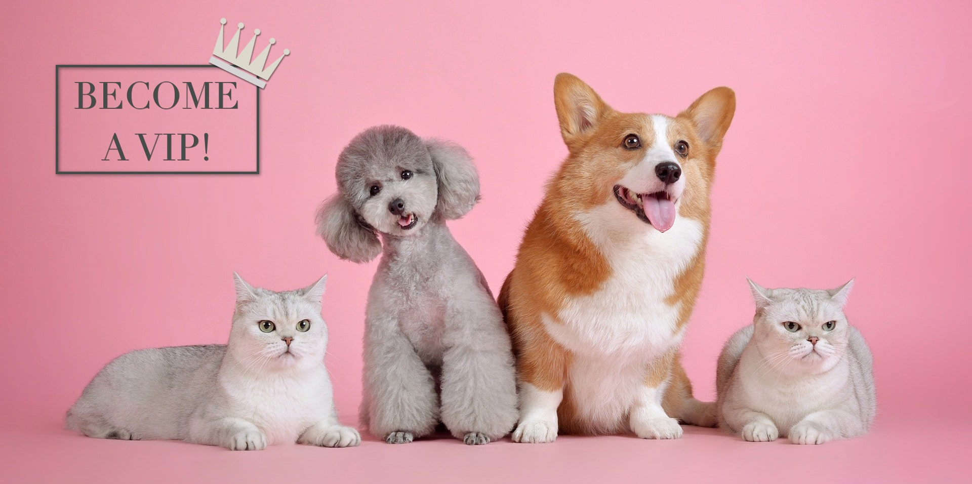 Two British shorthair cats, a poodle and a corgi sit on a pink background - advertising the Lords & Labradors VIP Club - click to sign up