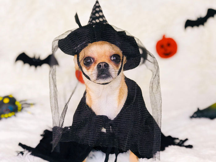 Chihuahua Dress-Up