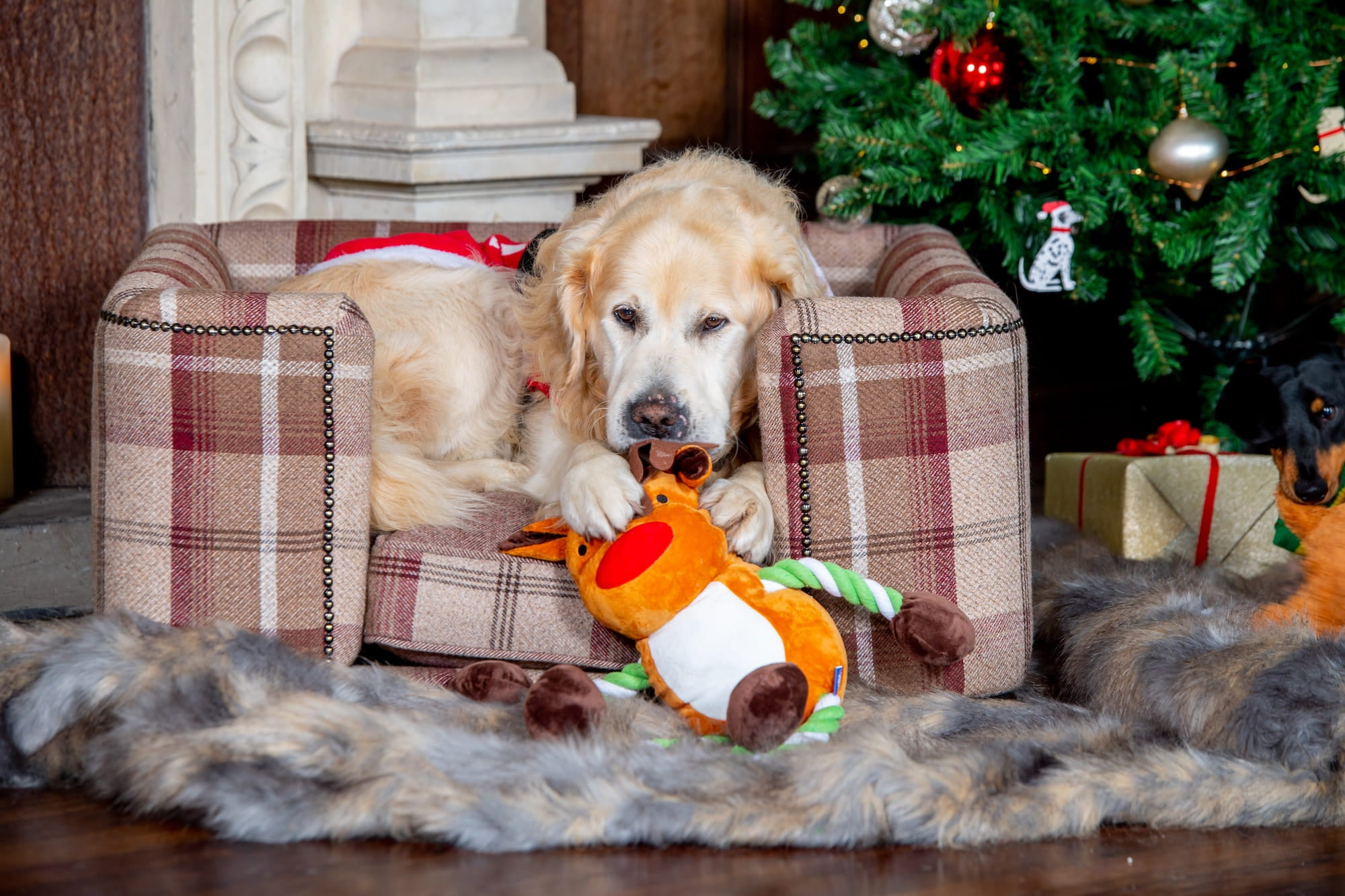 dog sits in a dog Chesterfield by Lords & Labradors and plays with a Christmas Dog toy