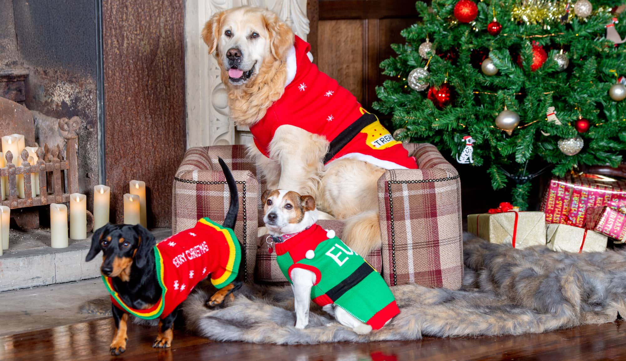 Three dogs sit in a dog Chesterfield under the christmas. The dogs wear Christmas jumpers and are surrounded by presents.
