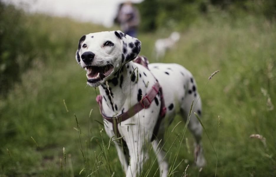 A Dalmatian going on a walk in a fitted dog harness.