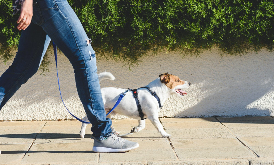 A dog owner taking their jack russell terrier for a walk on a lead.