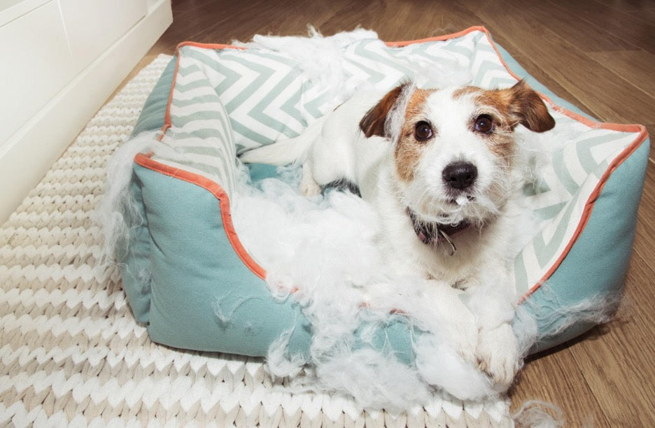A dog caught destroying their luxury dog bed.