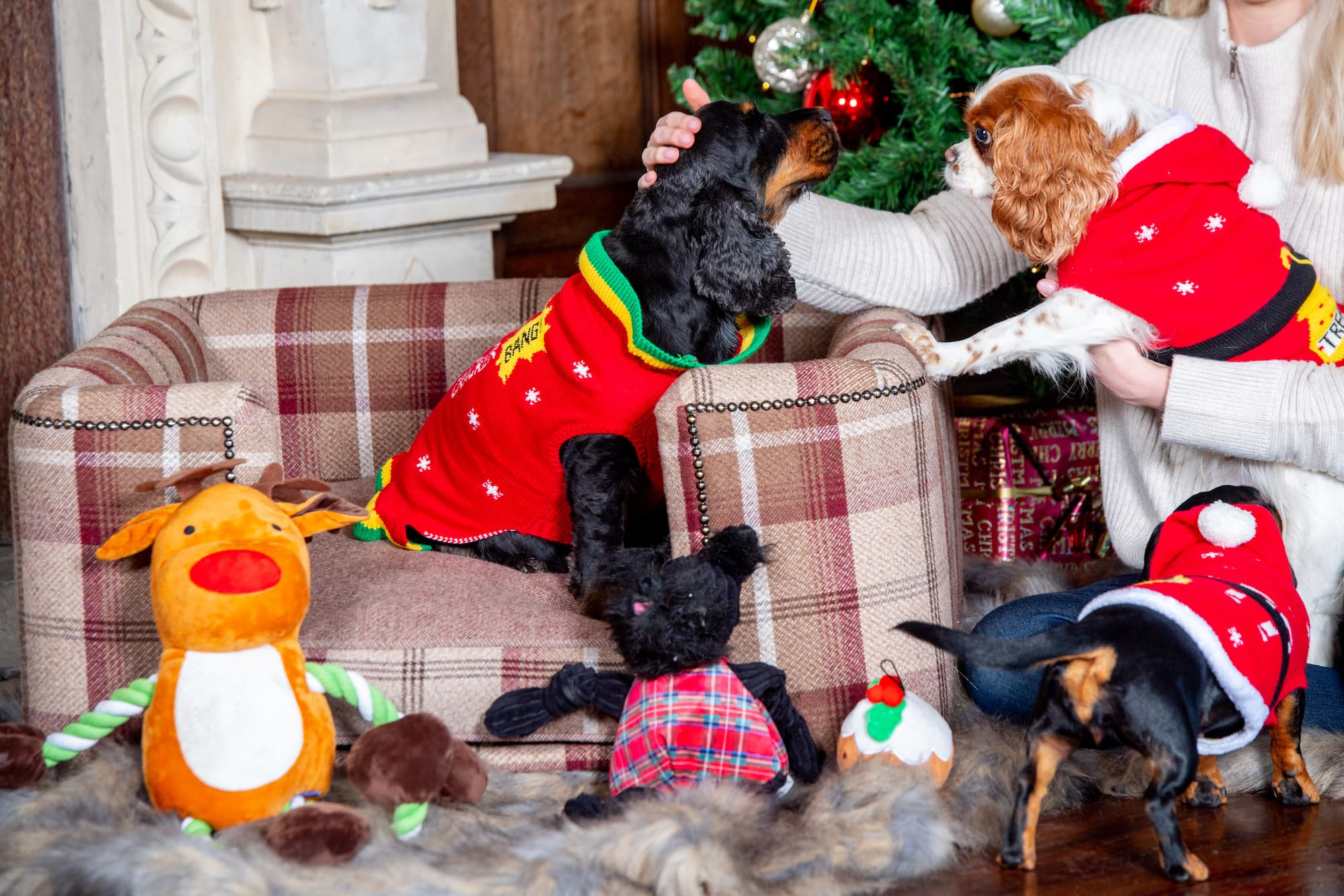 Dogs dressed in Christmas jumpers sit around the Christmas tree with their owner
