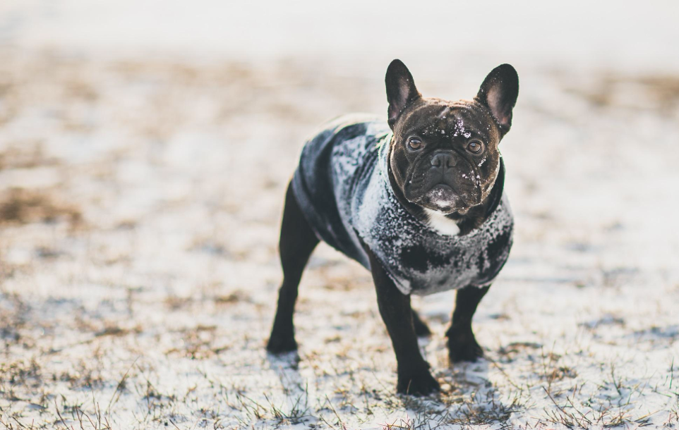 French Bulldog wearing a winter dog coat in the snow