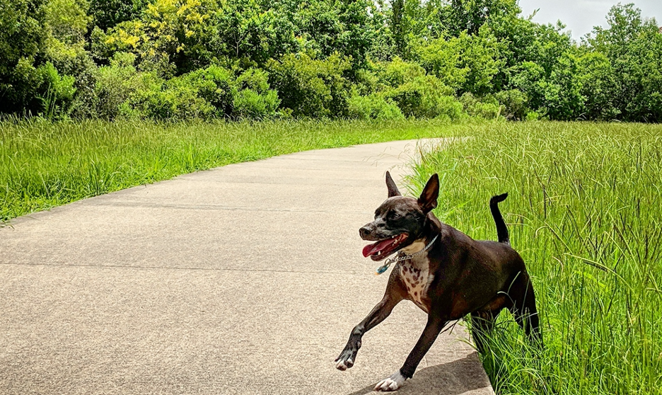 A panting dog enjoying a walk on a hot and sunny day.