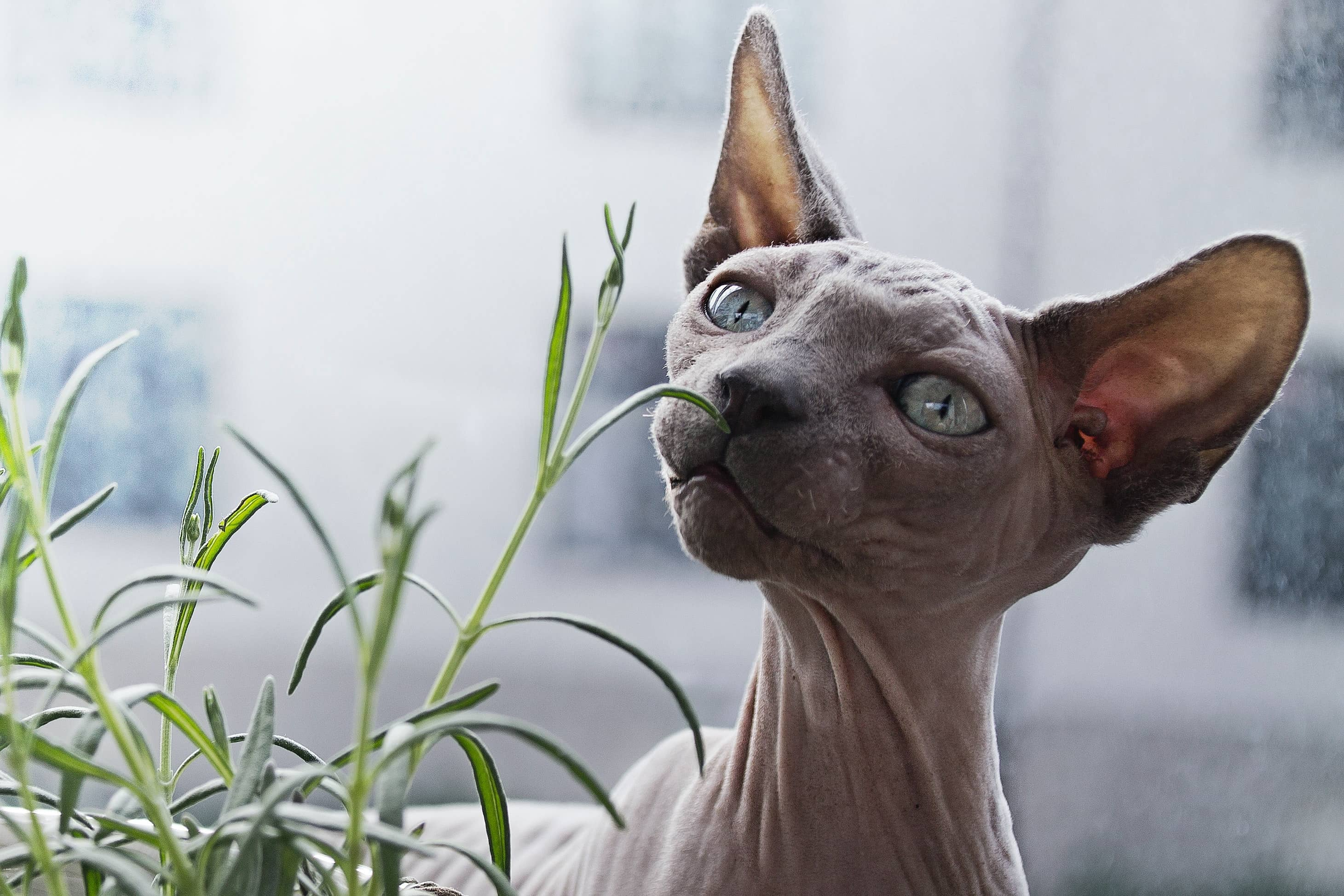 Sphynx cat smelling an indoor plant