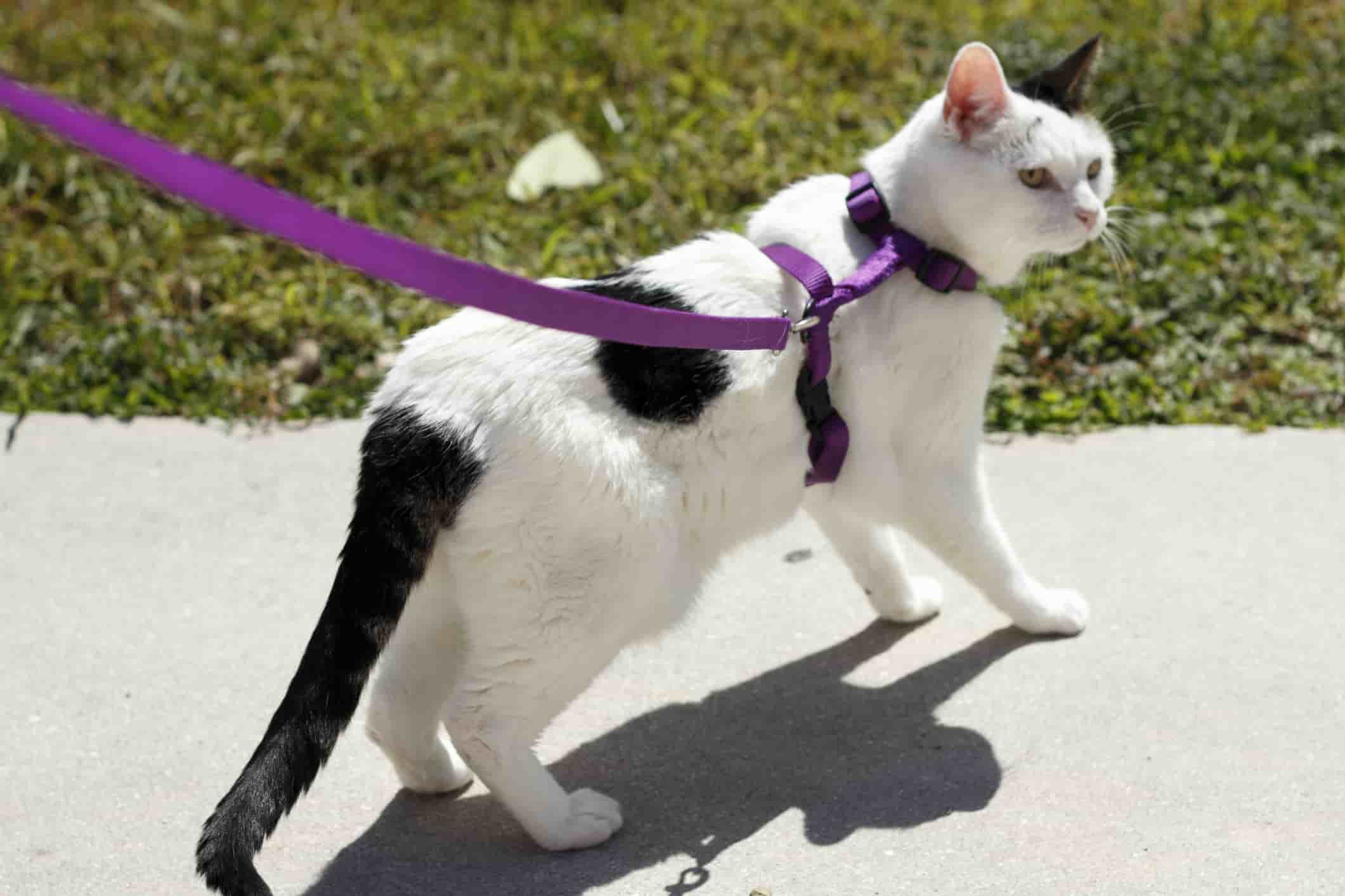 cat walking - cat harness and lead
