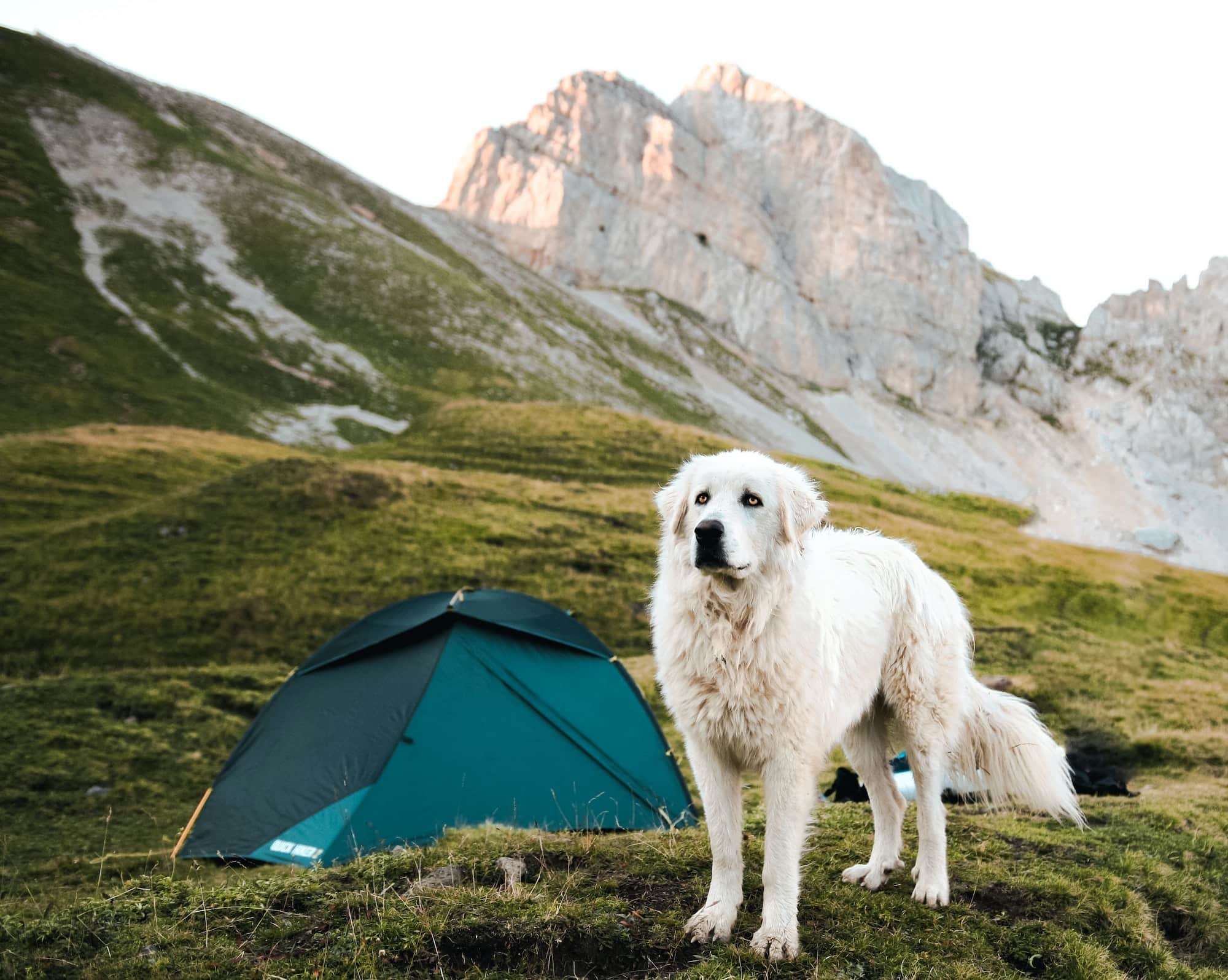 A dog near his owner's tent on a camping trip