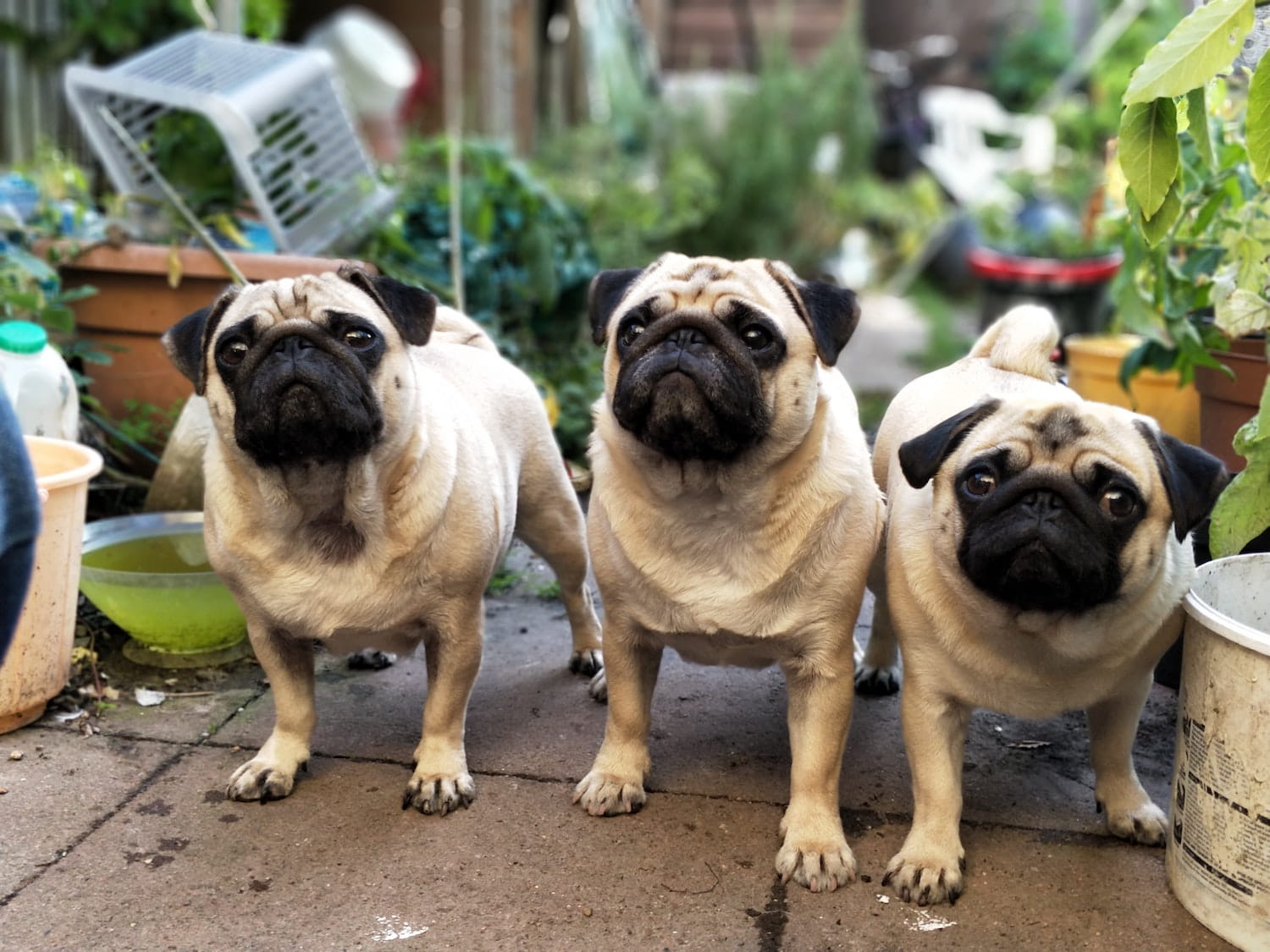A trio of pugs standing outside in the garden amidst plant pots and tools