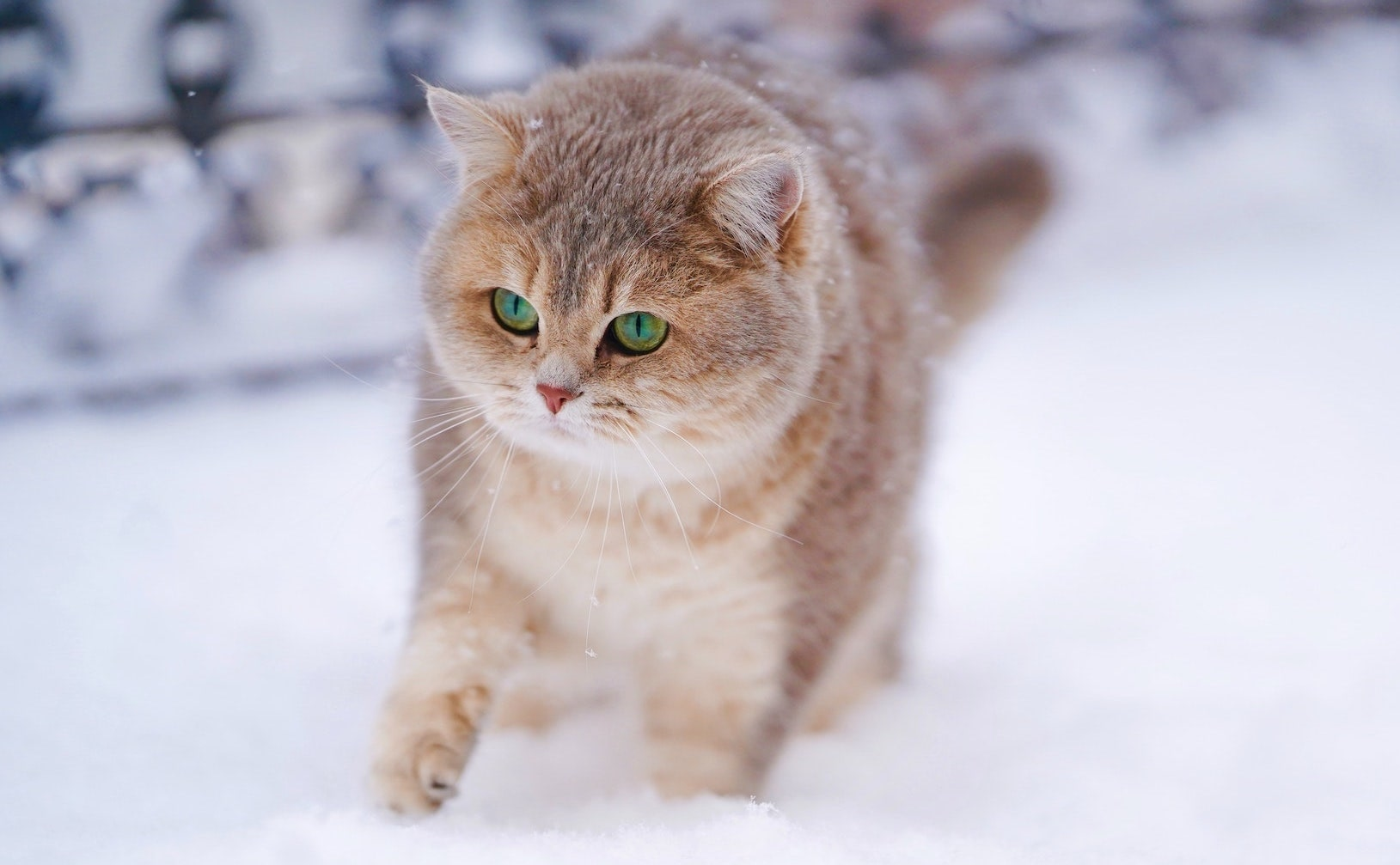 A ginger cat walks through the snow