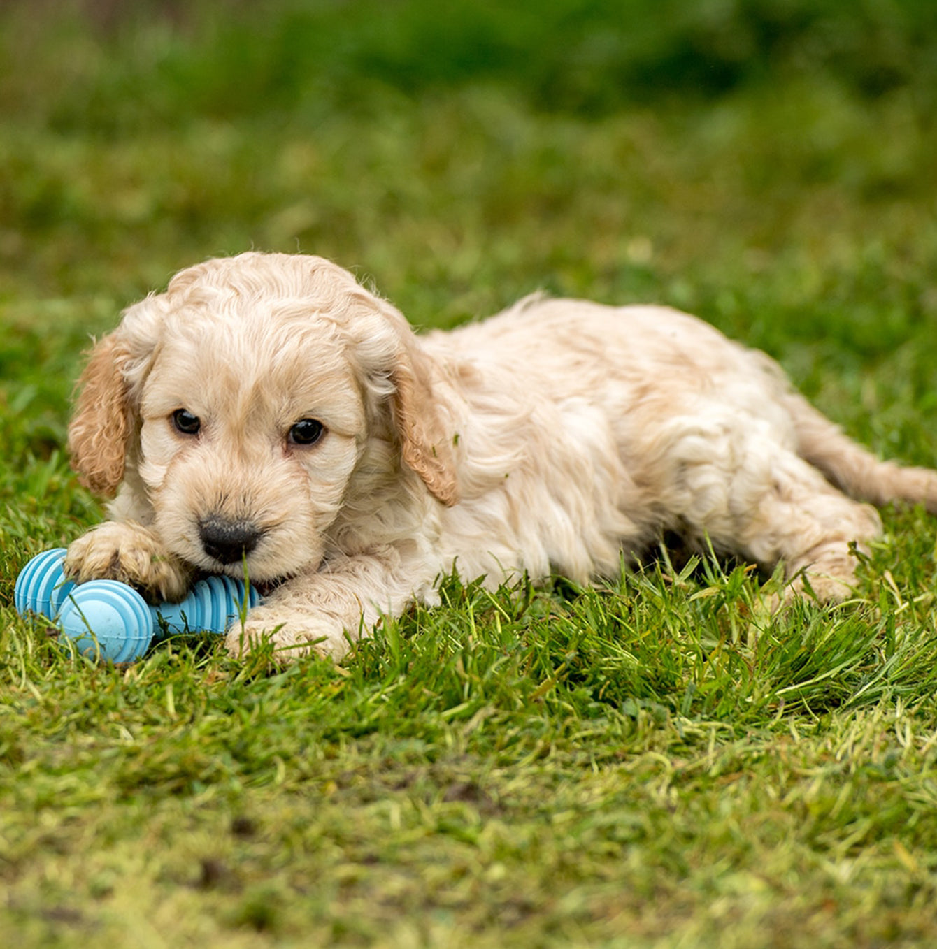 Blue Puppy Teether and a baby Cockapoo