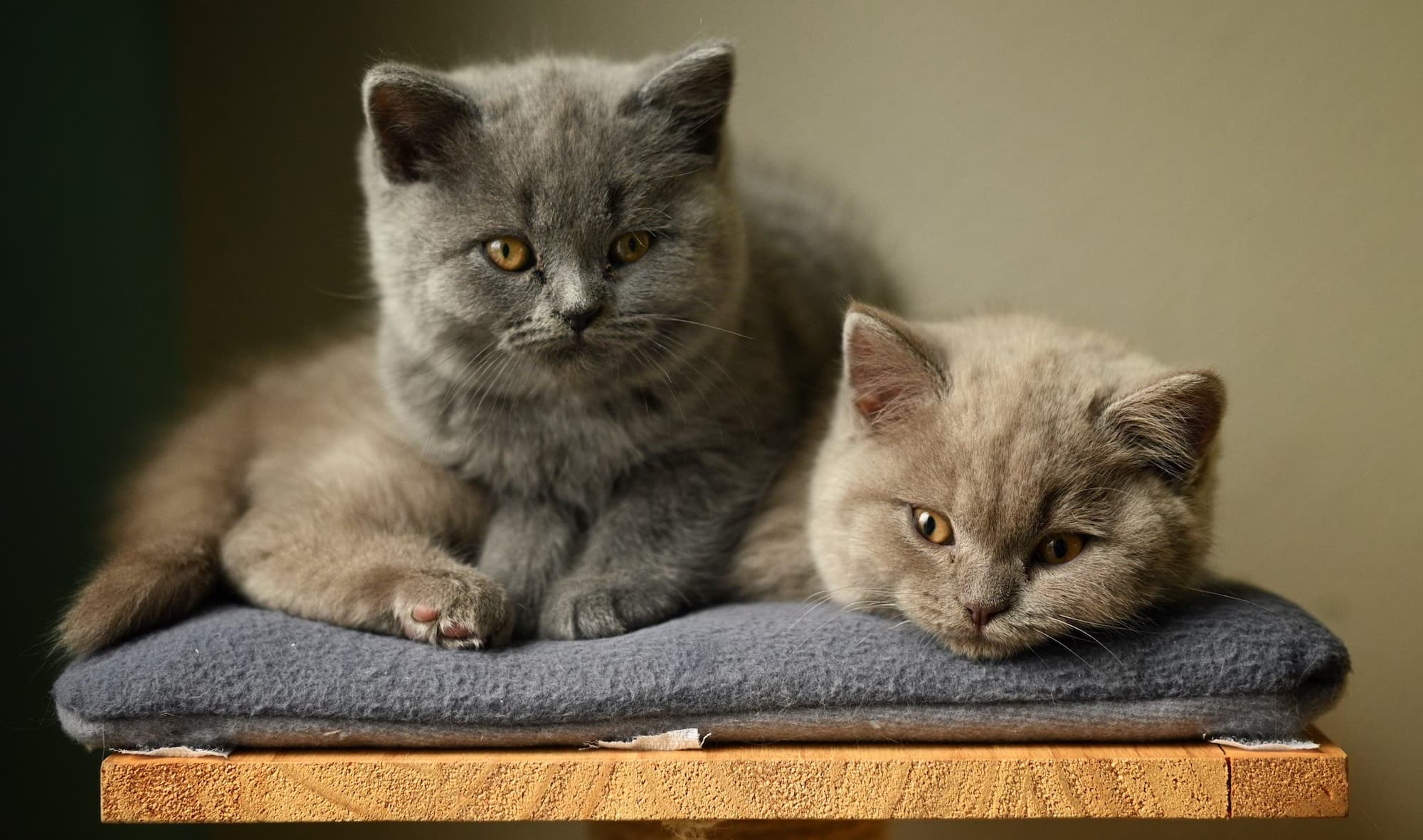 British shorthair kittens by Rene Peters