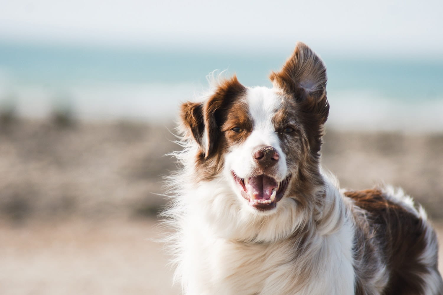 Brown and white dog by the sea