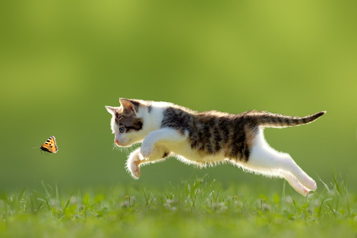 cat chasing a Butterly