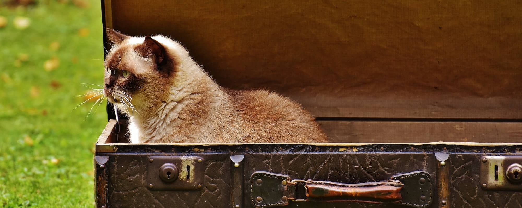 Cat sitting in a leather suitcase