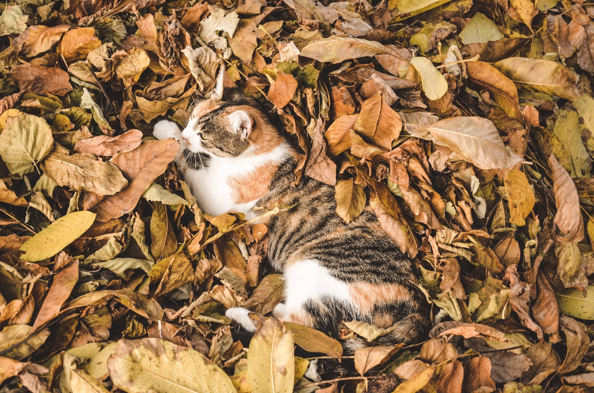 Cat lying in golden, autumn leaves