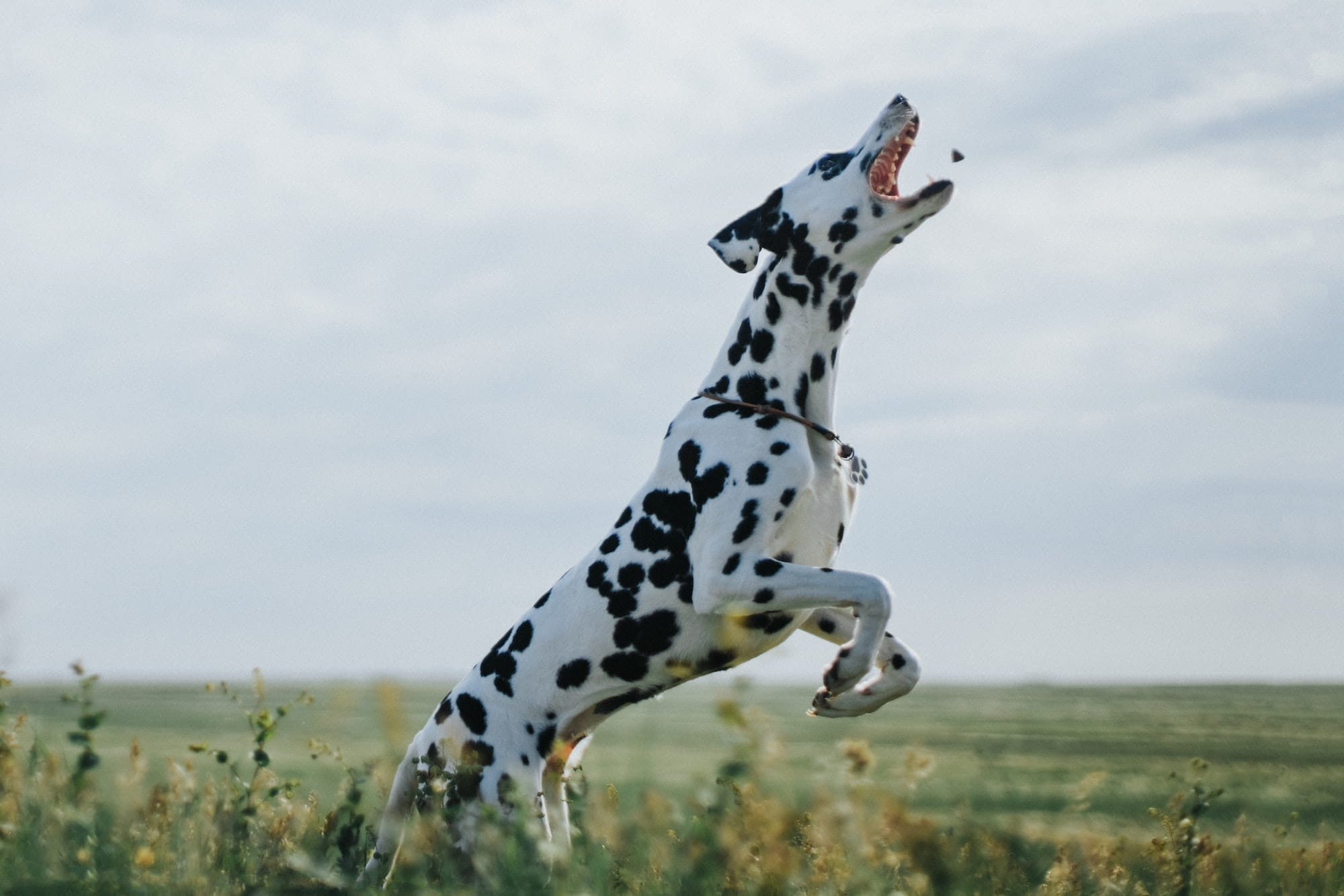 Dalmatian jumping in the air for a treat