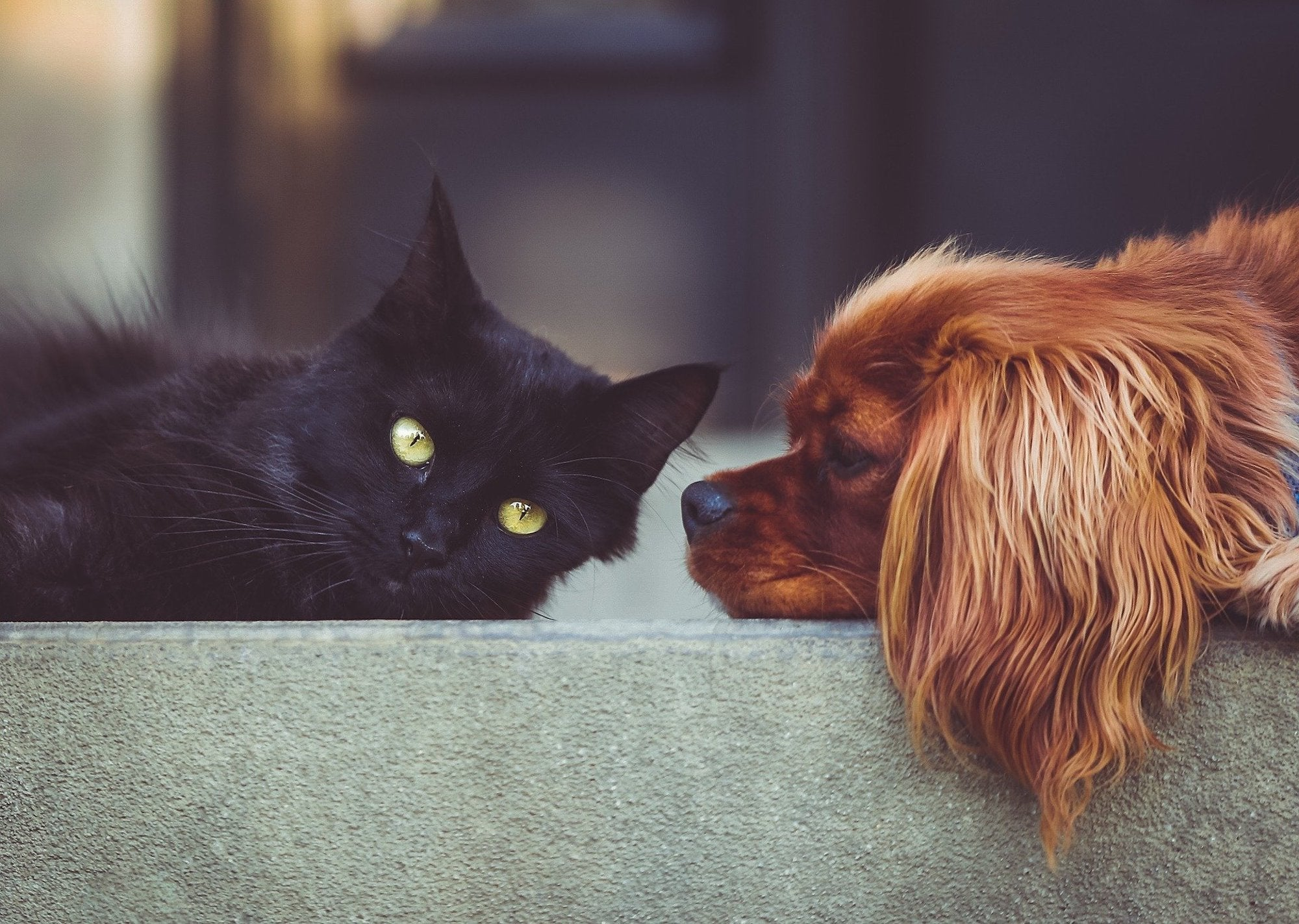 King Charles cavalier puppy with a black cat