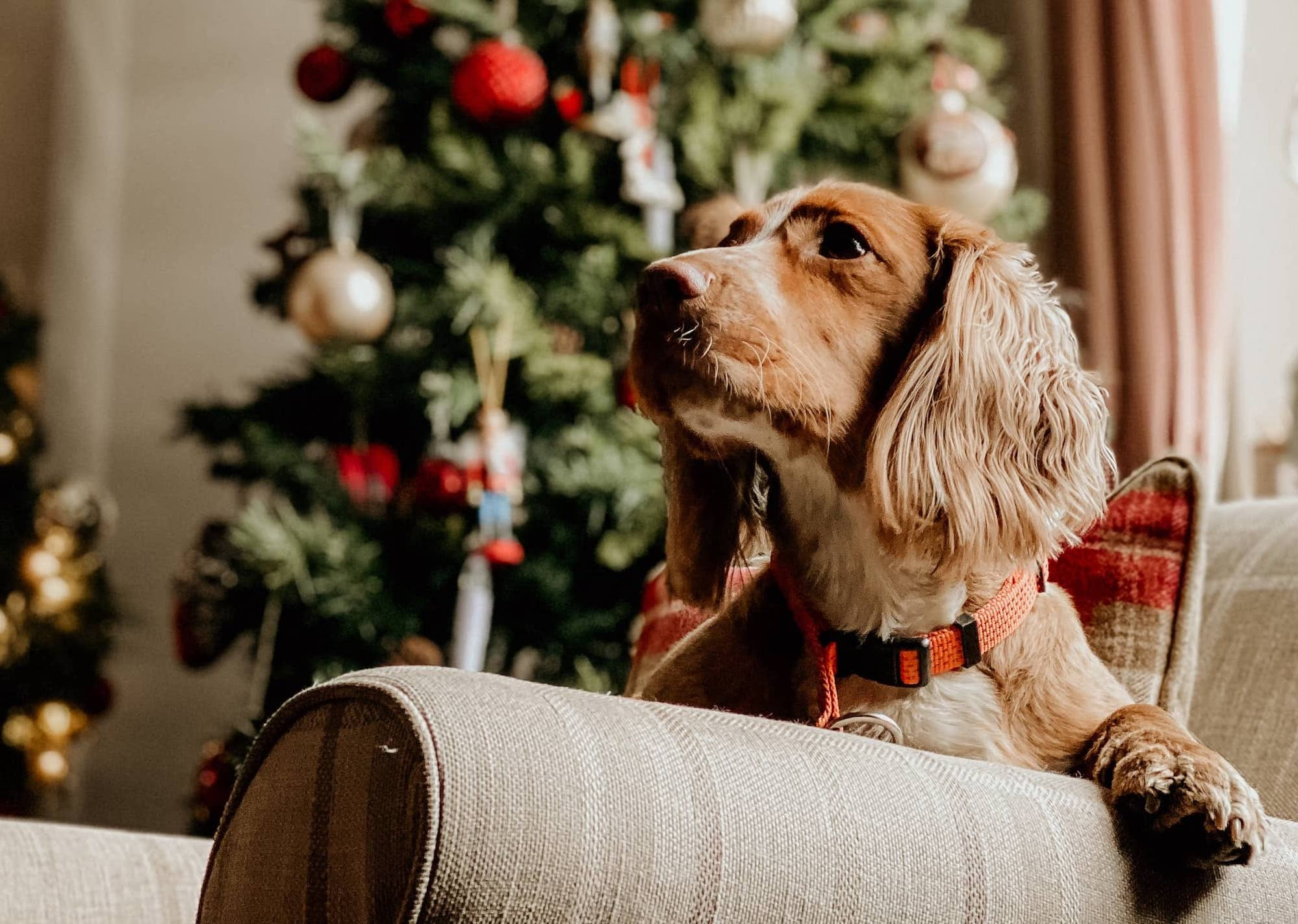 Dog sat on a sofa in front of a Christmas Tree