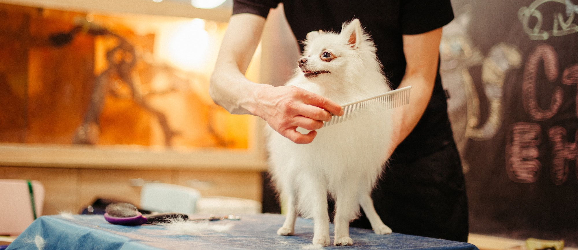 white dog being brushed by a groomer