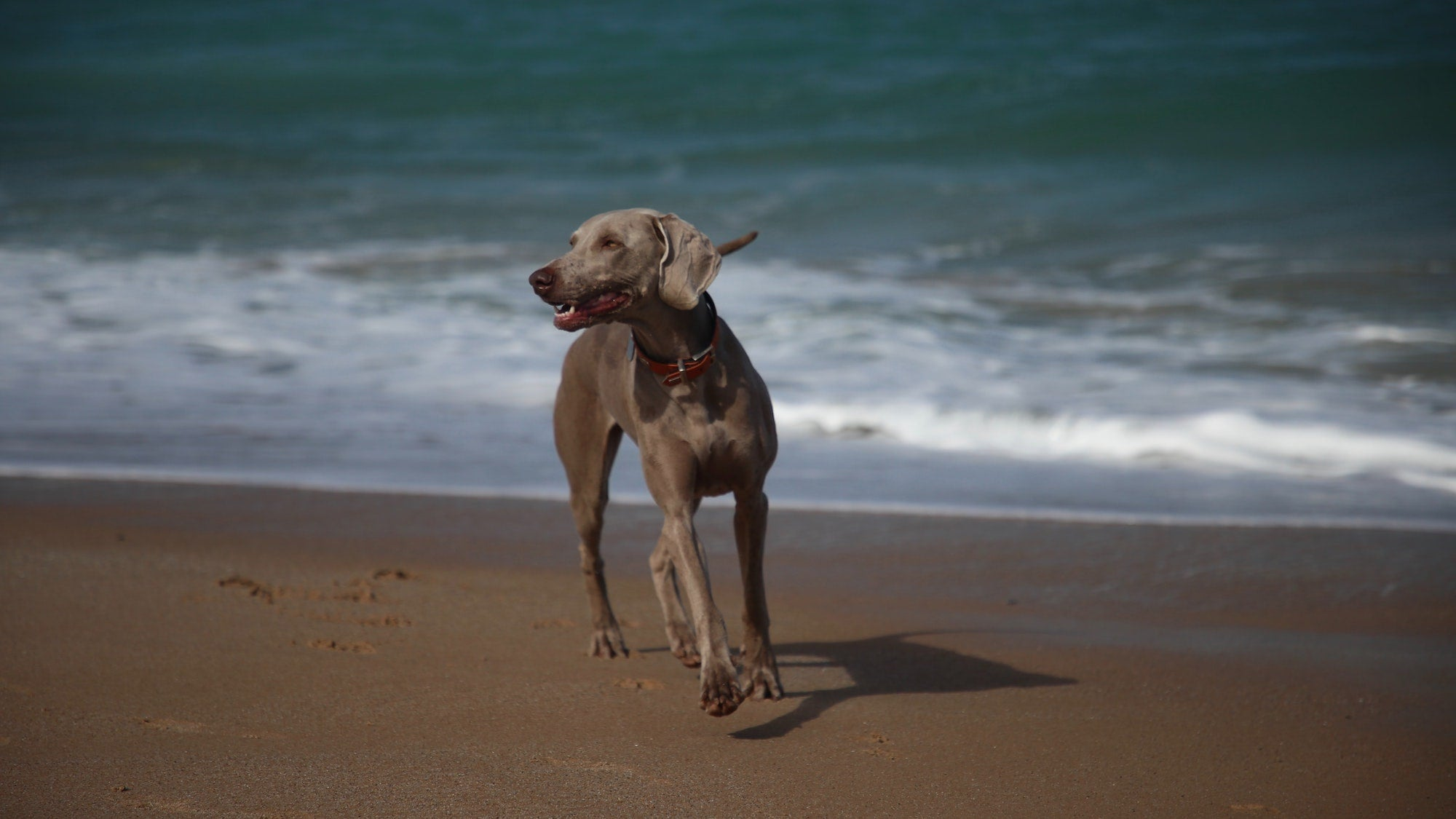 Weimaraner dog walking by sea on the beach