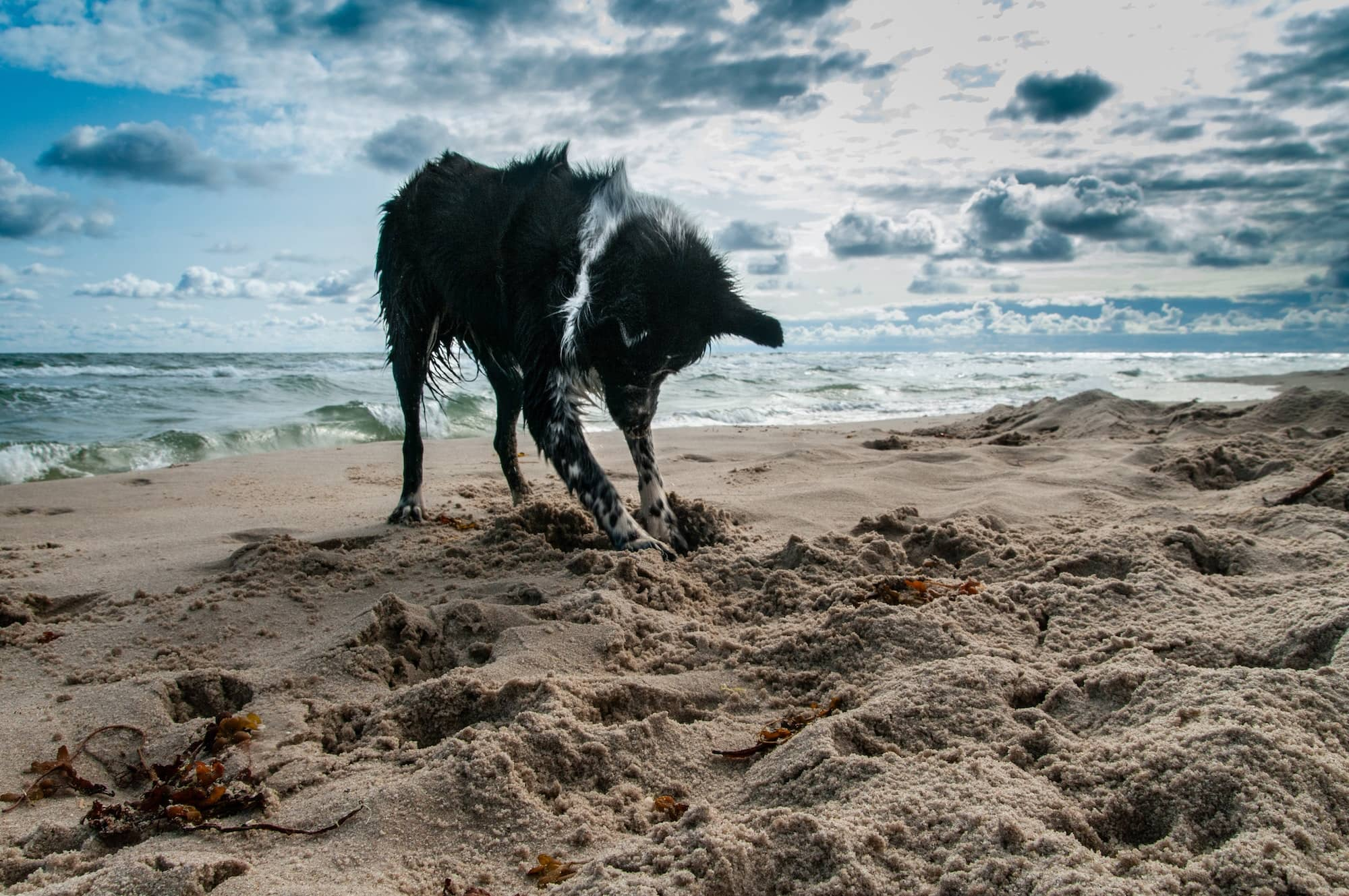 dog digging in the sand on the beach near the sea