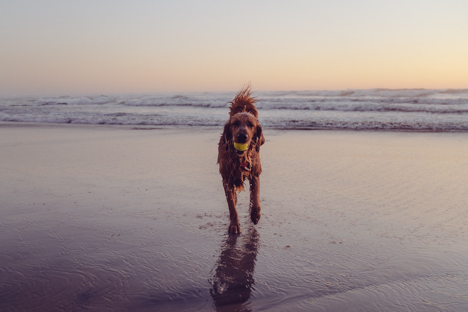 A dog playing near the sea on the beach with their ball.
