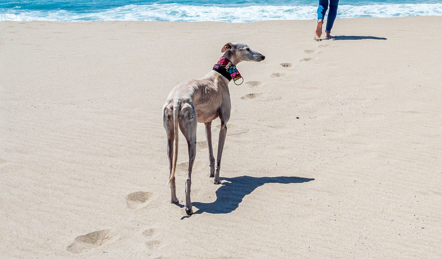 Dog walking on the beach in Summer