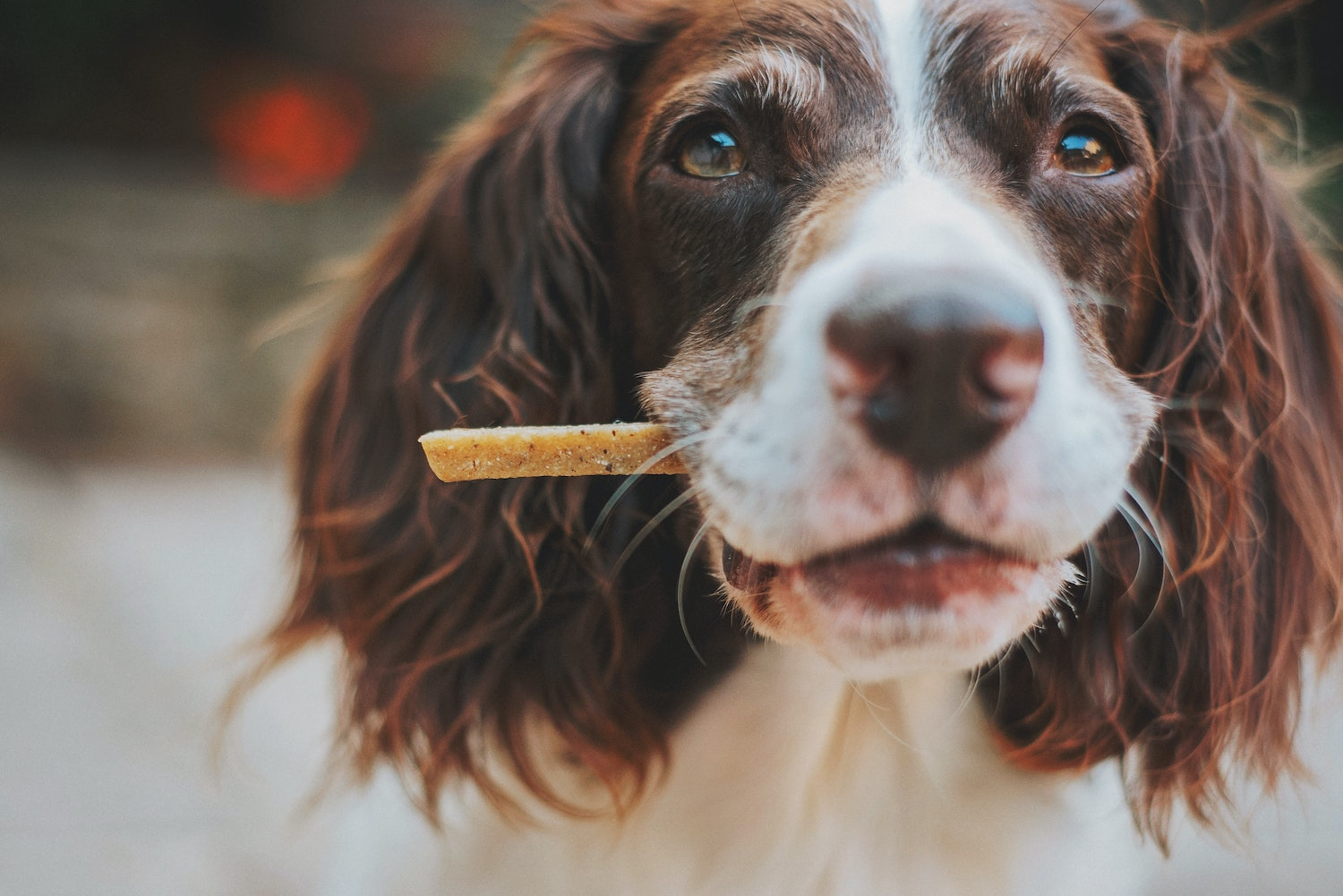 Dog with a chew treat