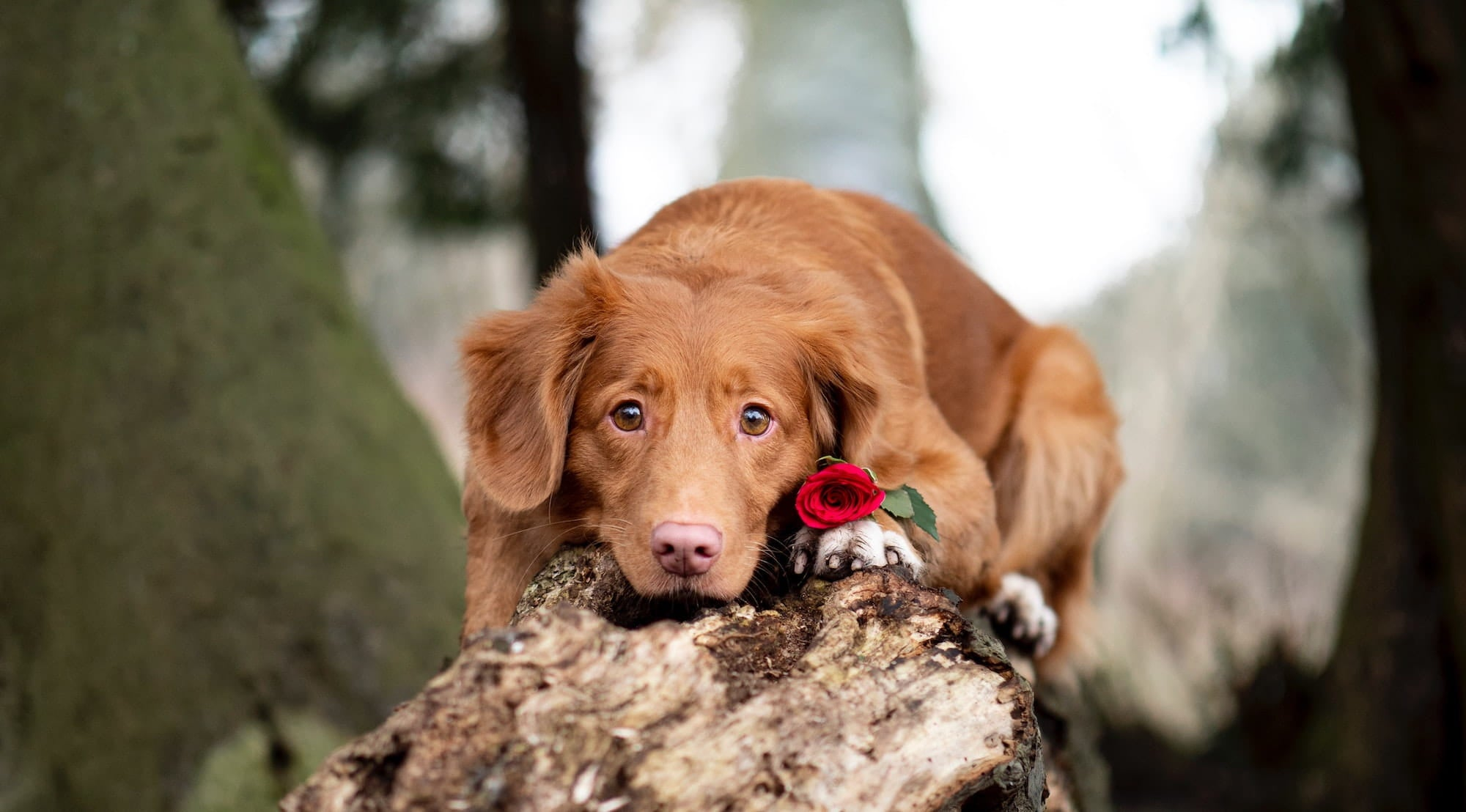 Dog sitting in the woods with a red rose