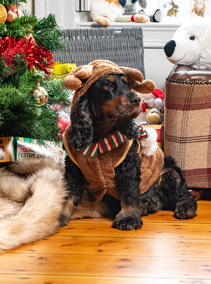 Cocker spaniel wearing reindeer dog dressing up outfit
