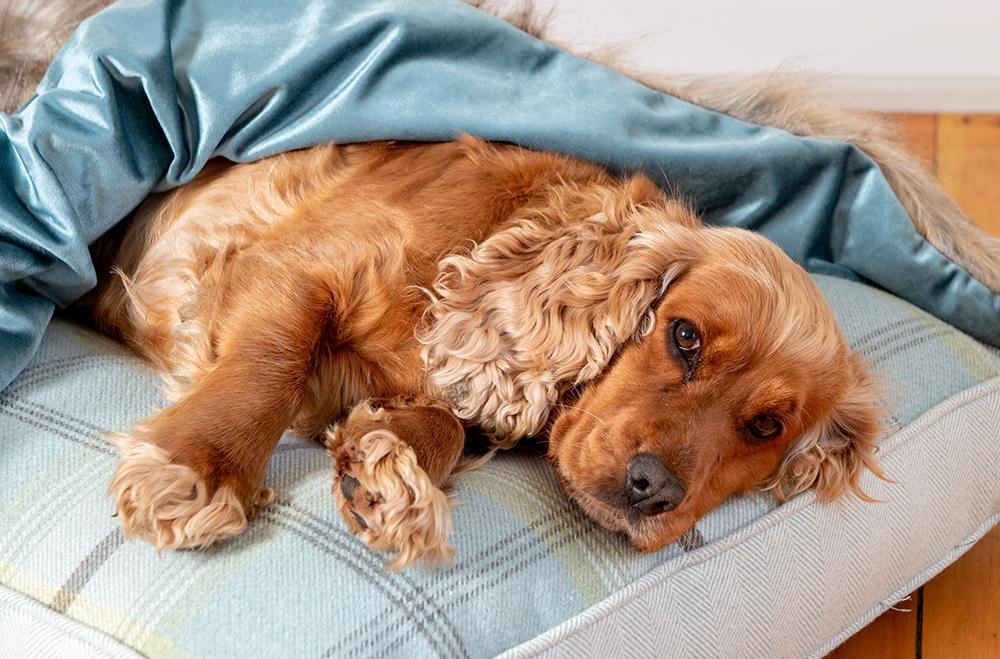 Cocker Spaniel dog lying on a Balmoral Twist dog cushion by Lords & Labrador with a Luxury Faux Fur & Velvet Blanket