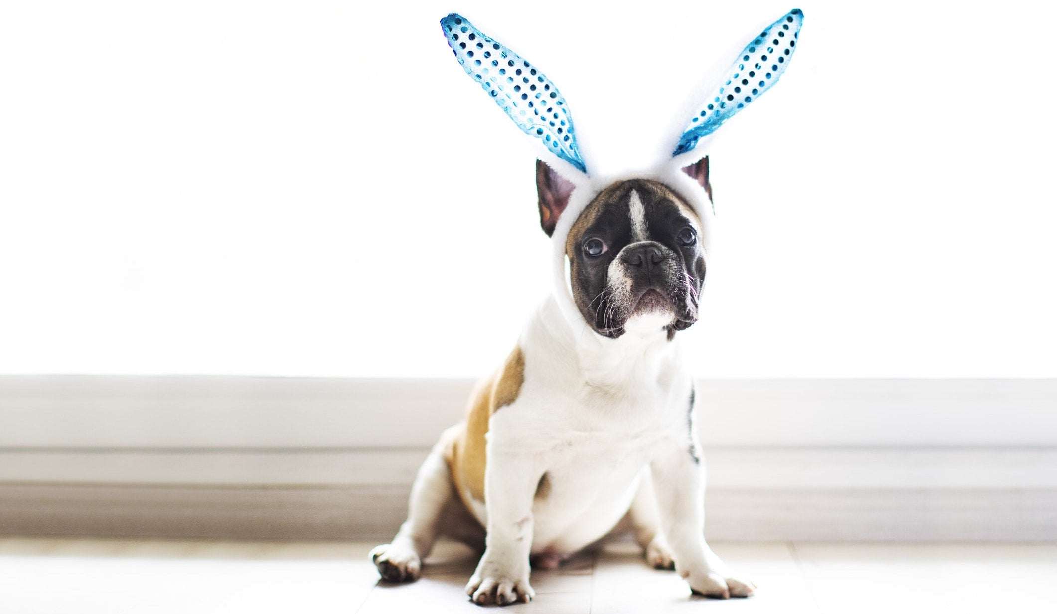 Dog dressed in Easter Bunny ears