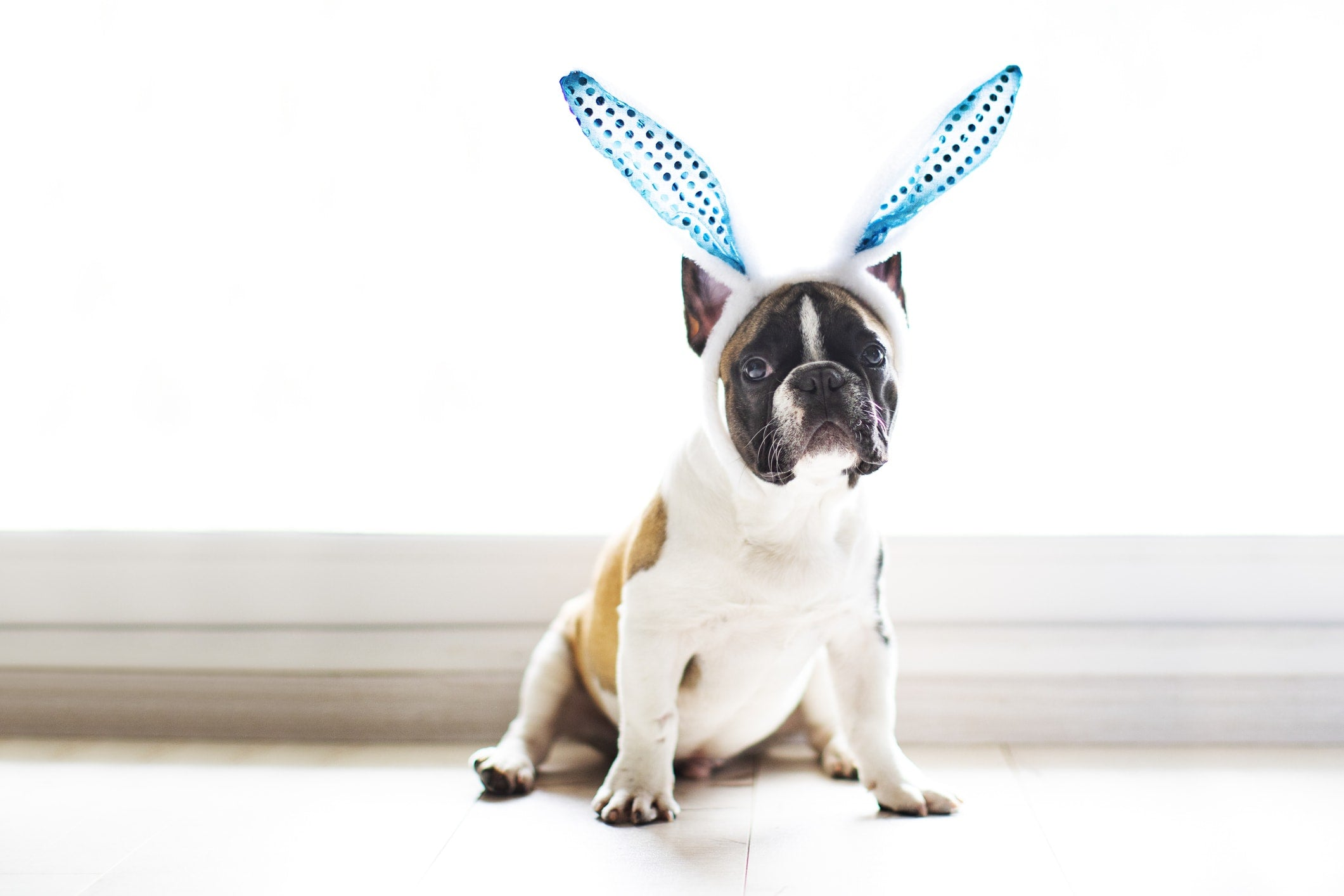 French bulldog wearing bunny ears for easter