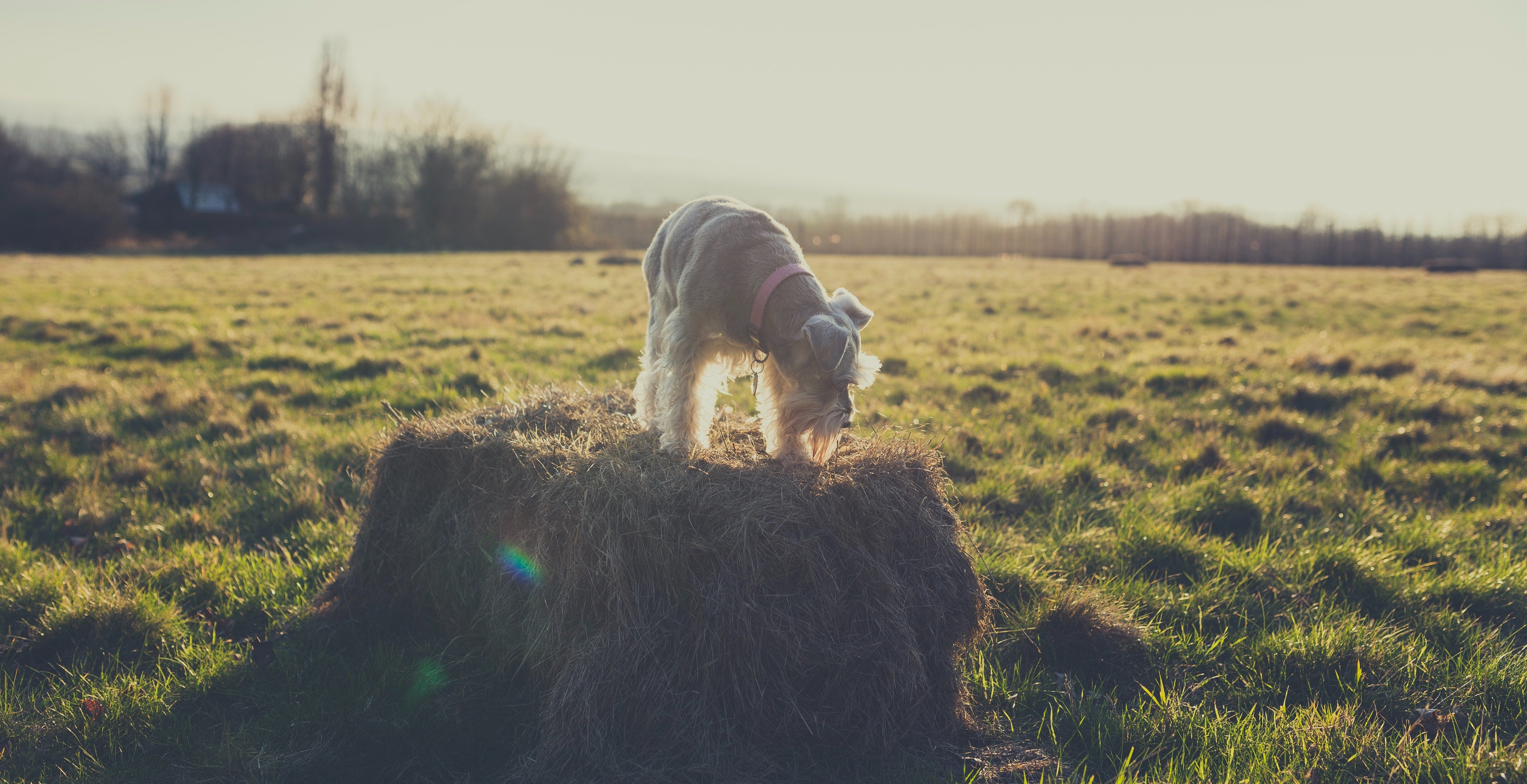 miniature schnauzer stands on a hay bale in a field