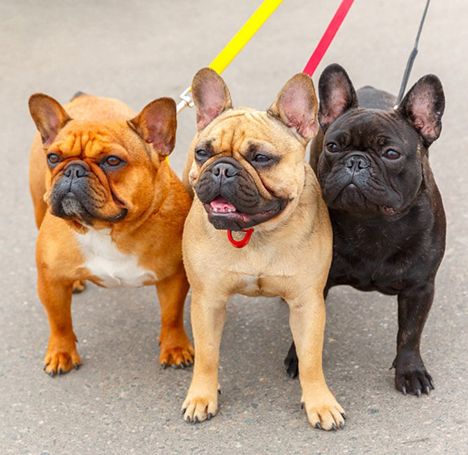 A trio of French bulldogs being walked on leads.