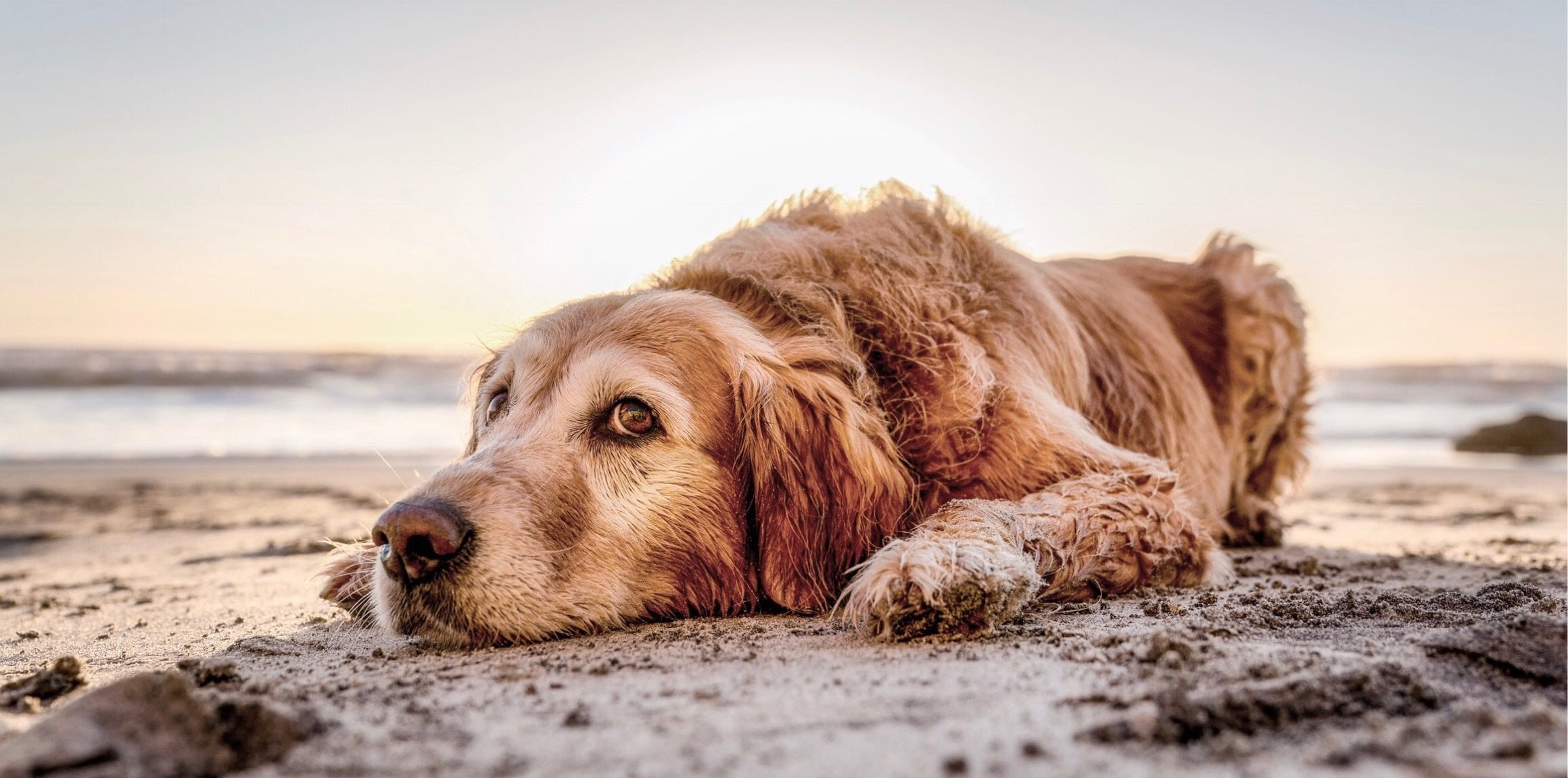 golden retriever dog lying on the beach
