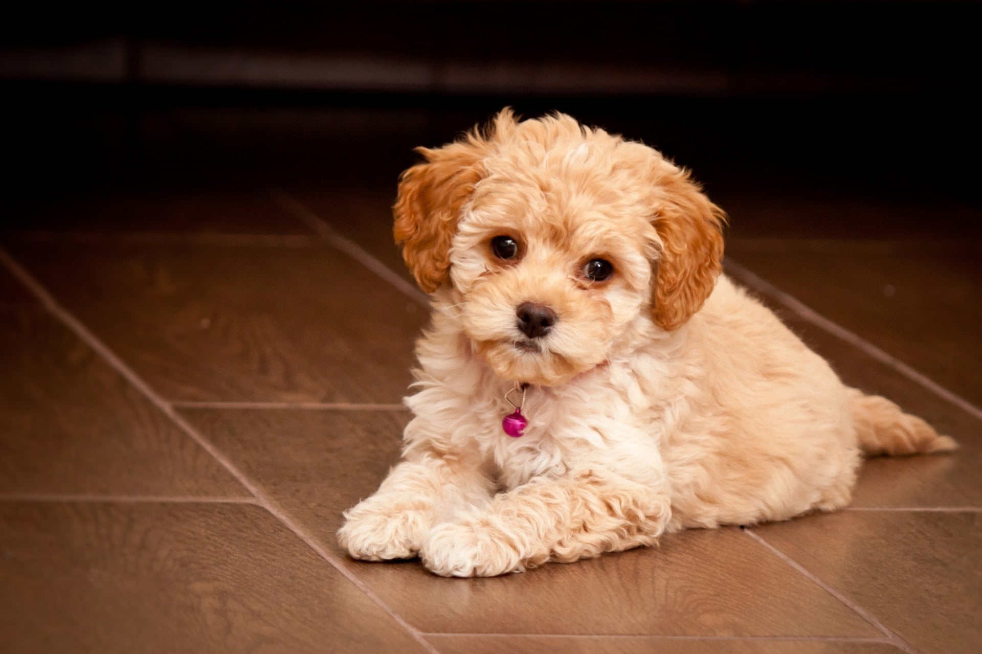 Maltipoo Puppy sitting on the lawn