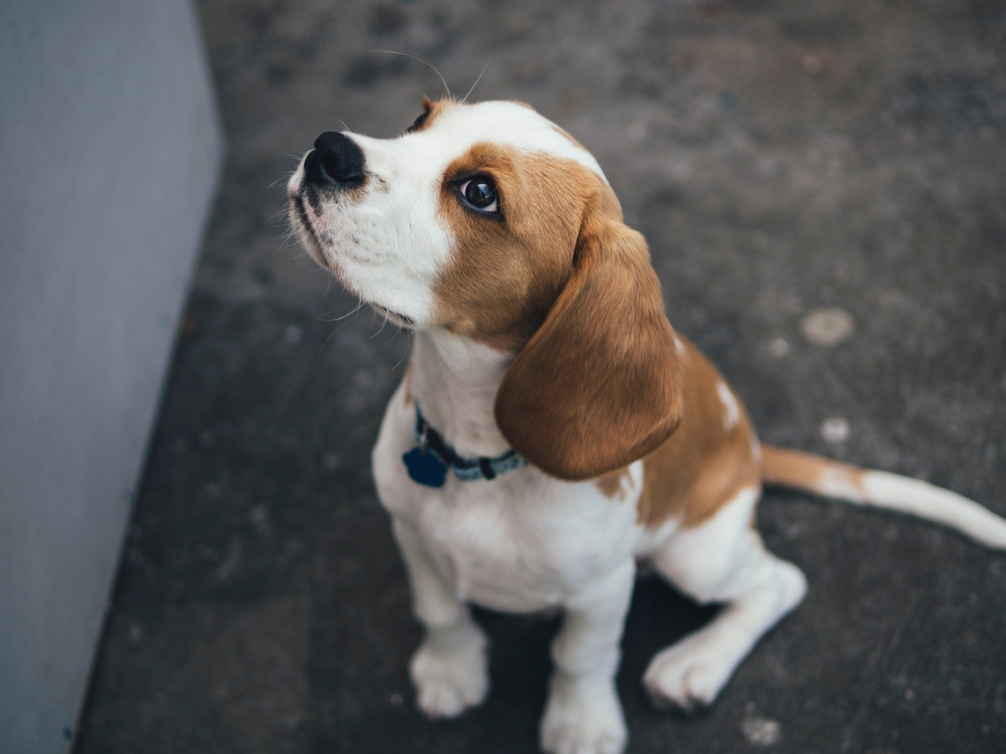 Everything You Need For Your New Beagle Puppy Lords Labradors