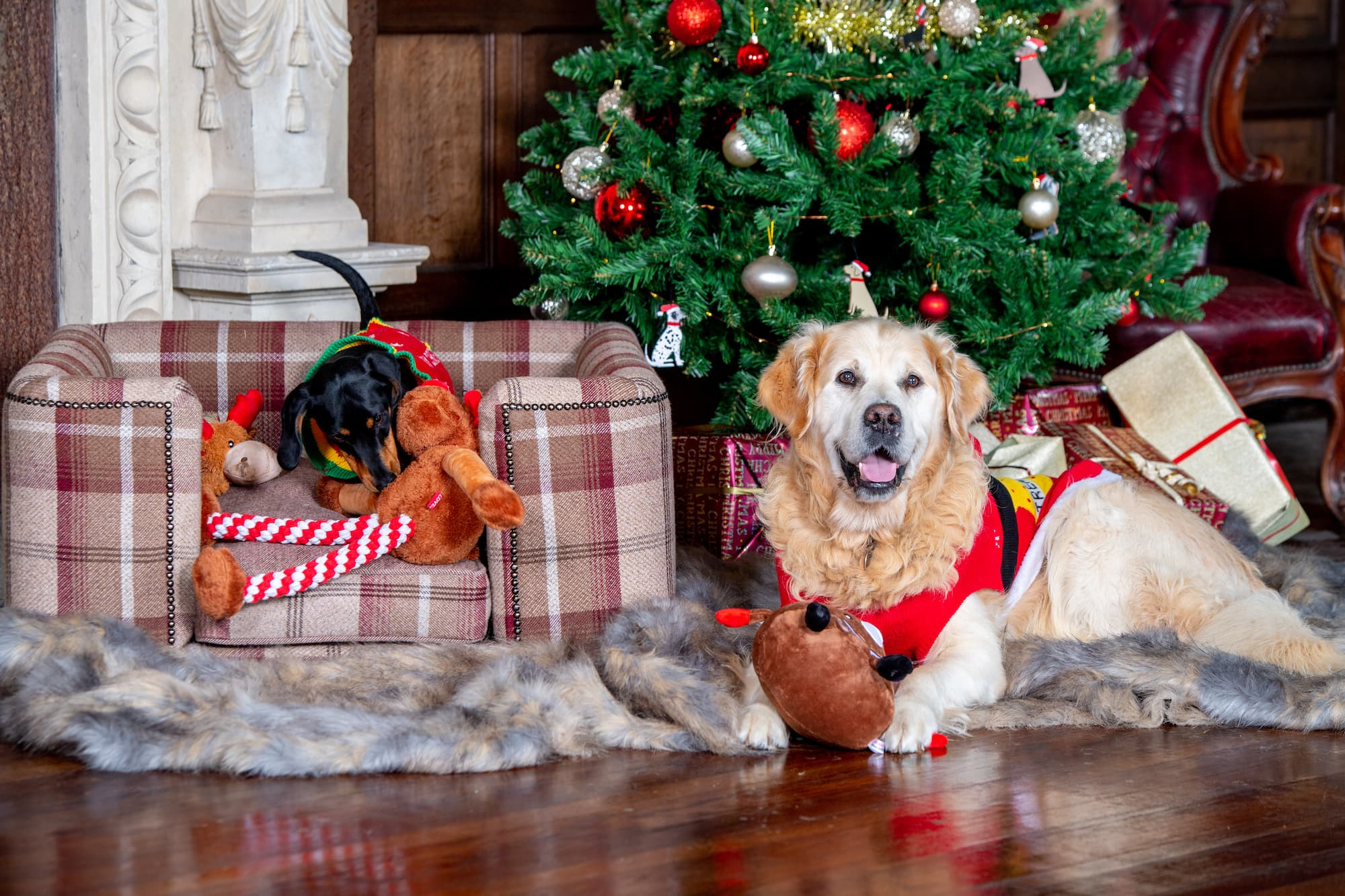 A golden retriever and a miniature dachshund wear Christmas jumpers whilst sitting around the Christmas Tree