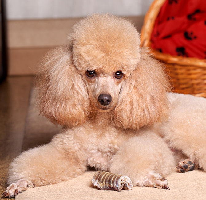 miniature-poodle-dog-collars,-beds-&-accessories