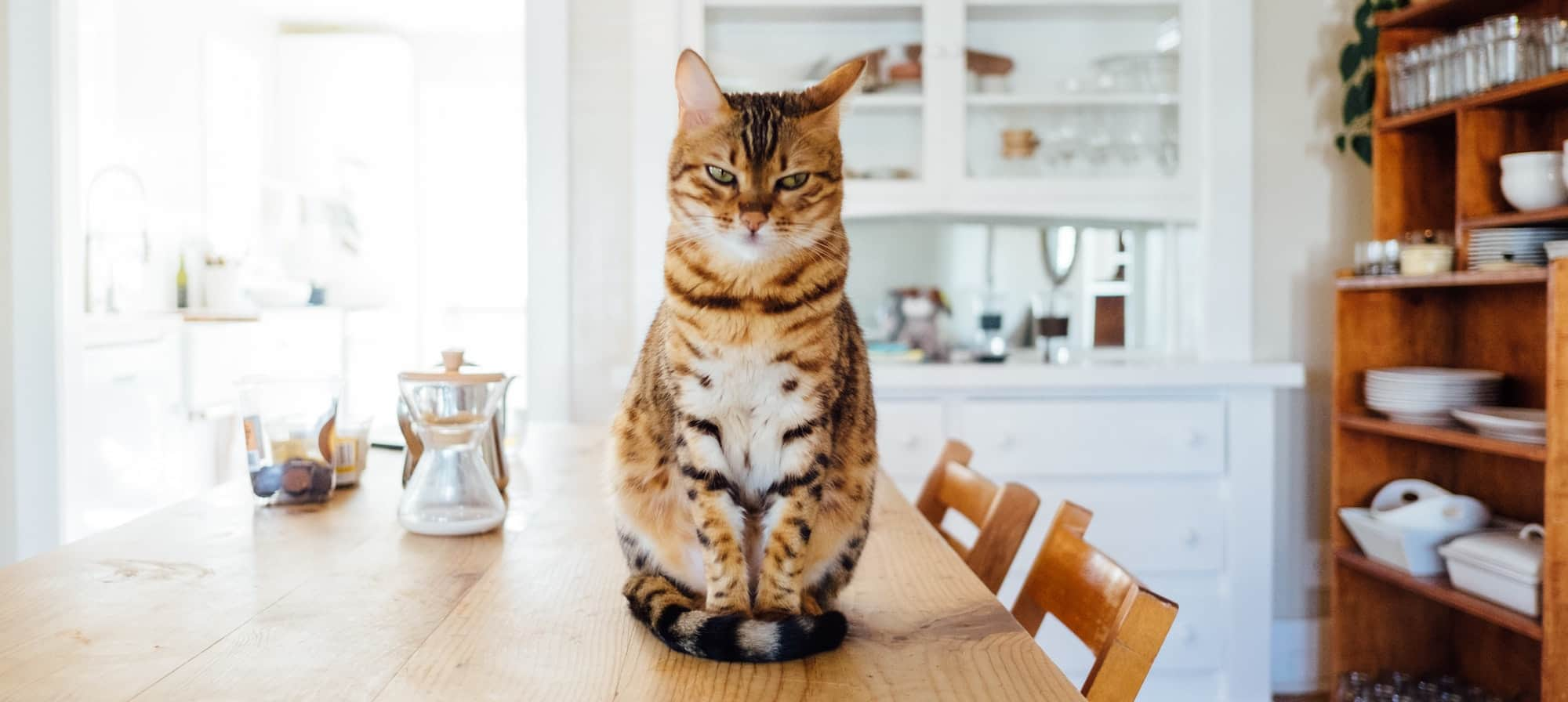 Cat sitting on a kitchen table