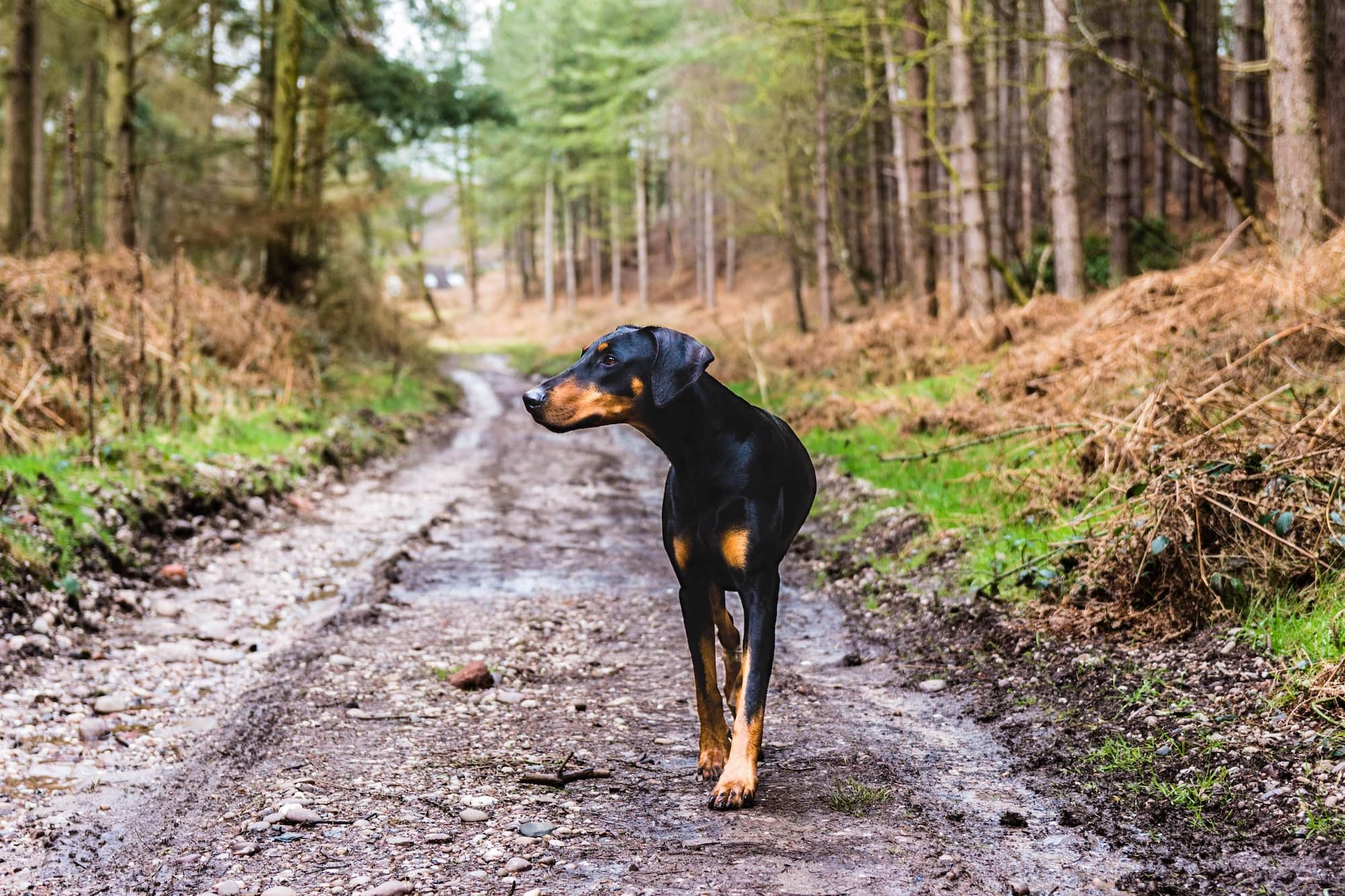 Doberman dog walking through the woods