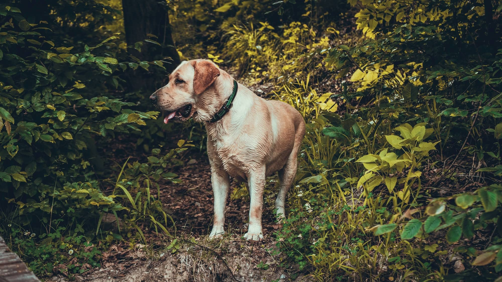 labrador on a woodland walk