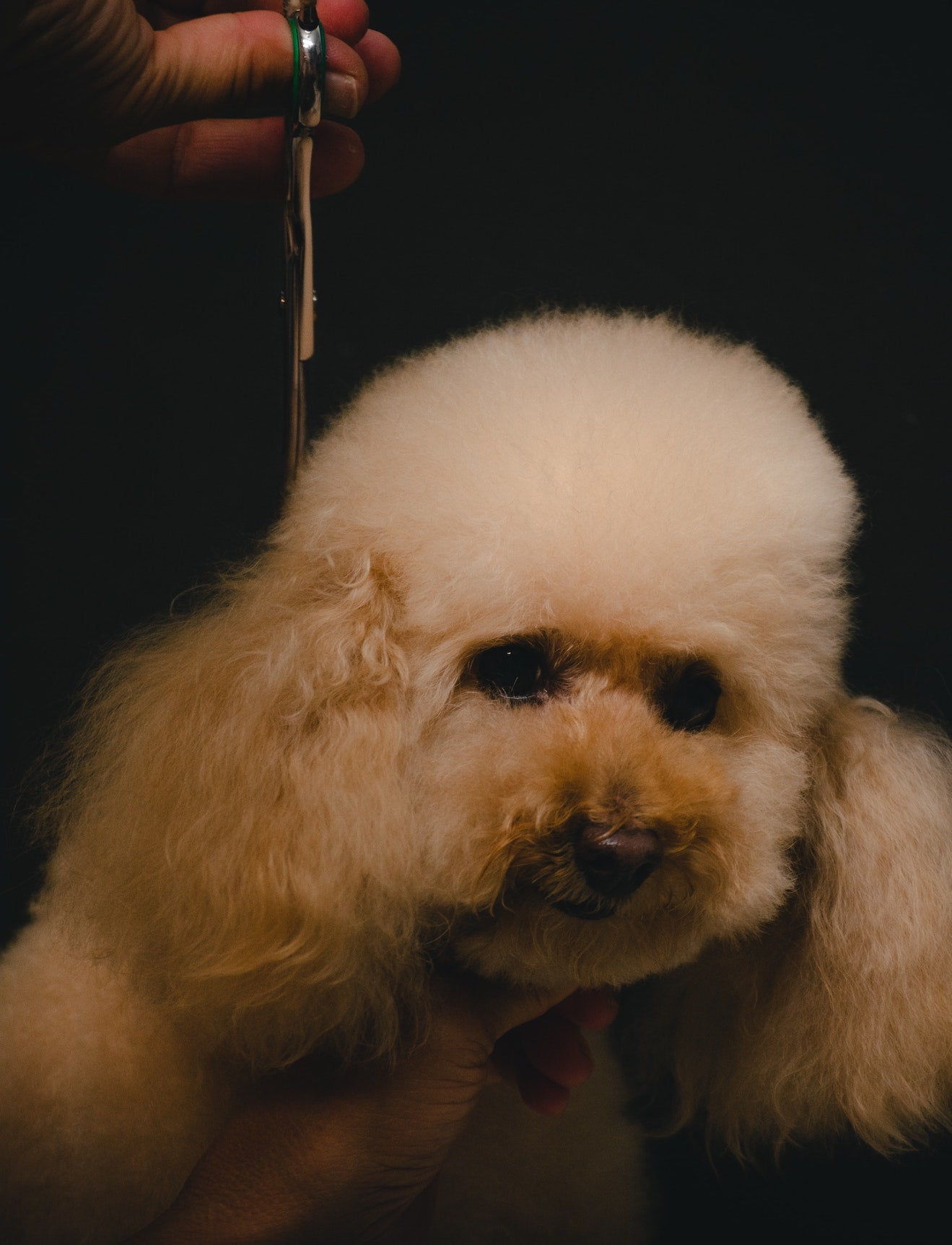 Poodle being trimmed by a groomer