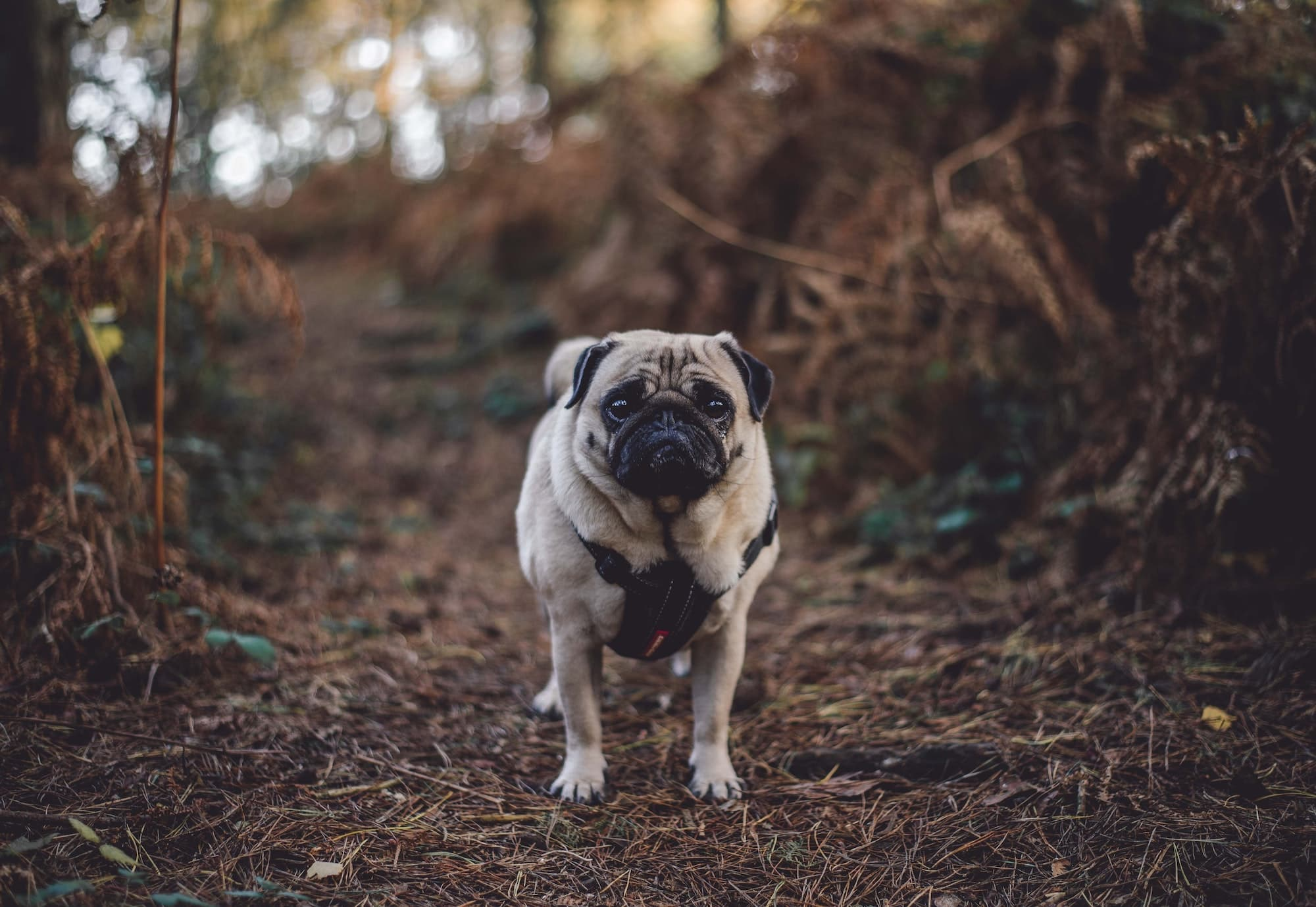 Pug dog on an Autumn Walk