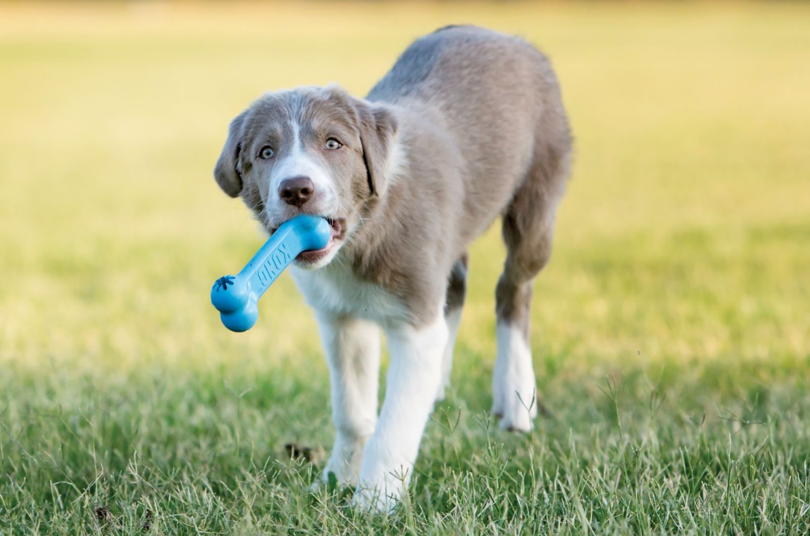 Puppy playing with a blue KONG Goodie Bone toy
