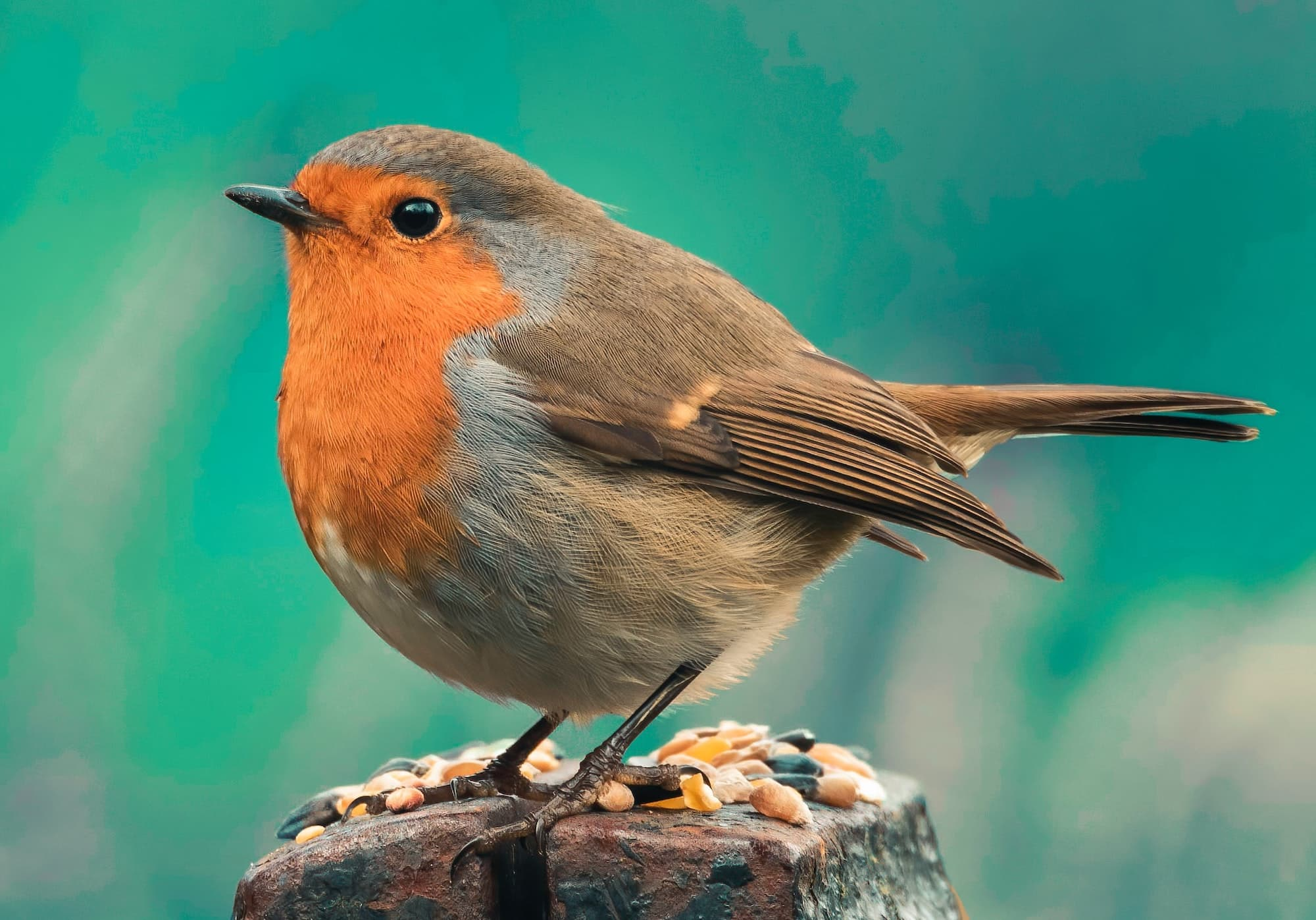 Robin sitting on a wooden post.