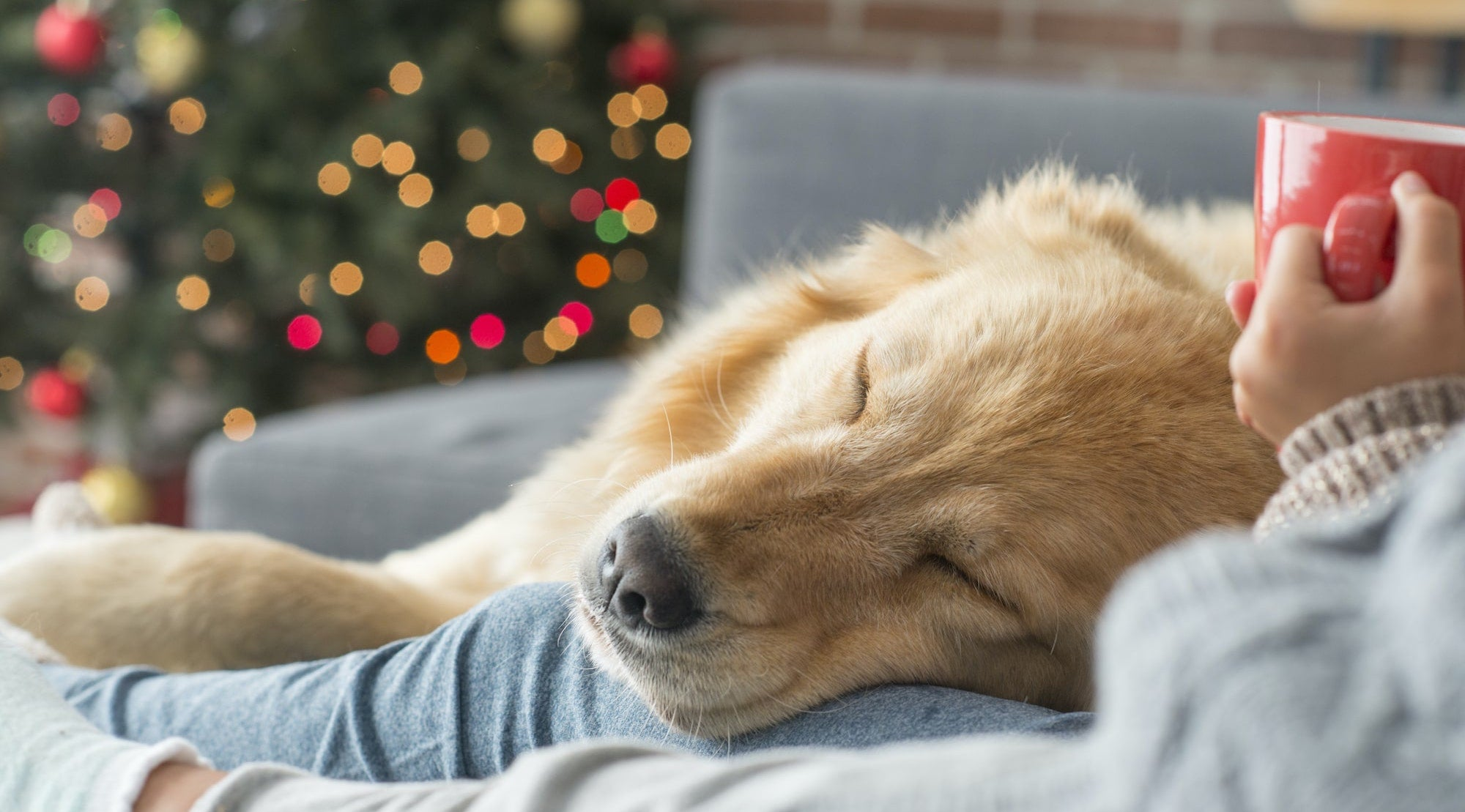 sleeping dog snuggled on the sofa with humans in front of a Christmas tree